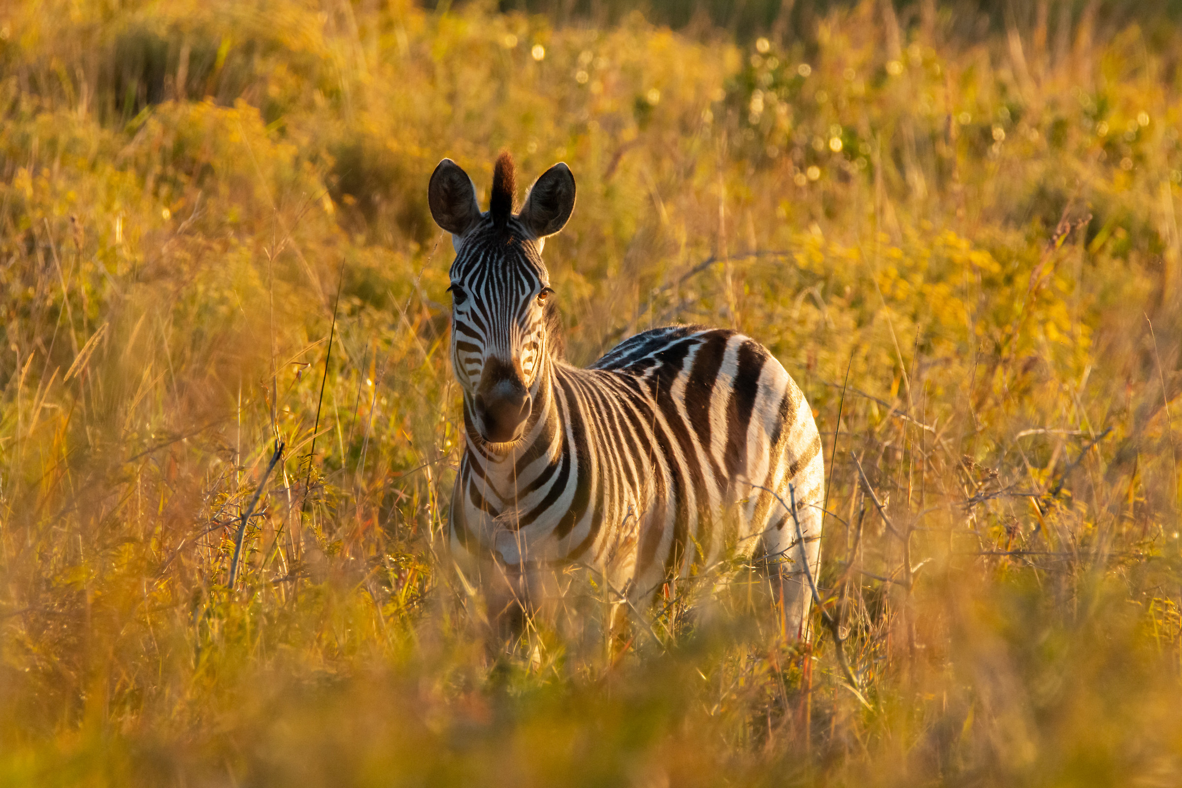 Zebra - iSimangaliso Wetland Park...