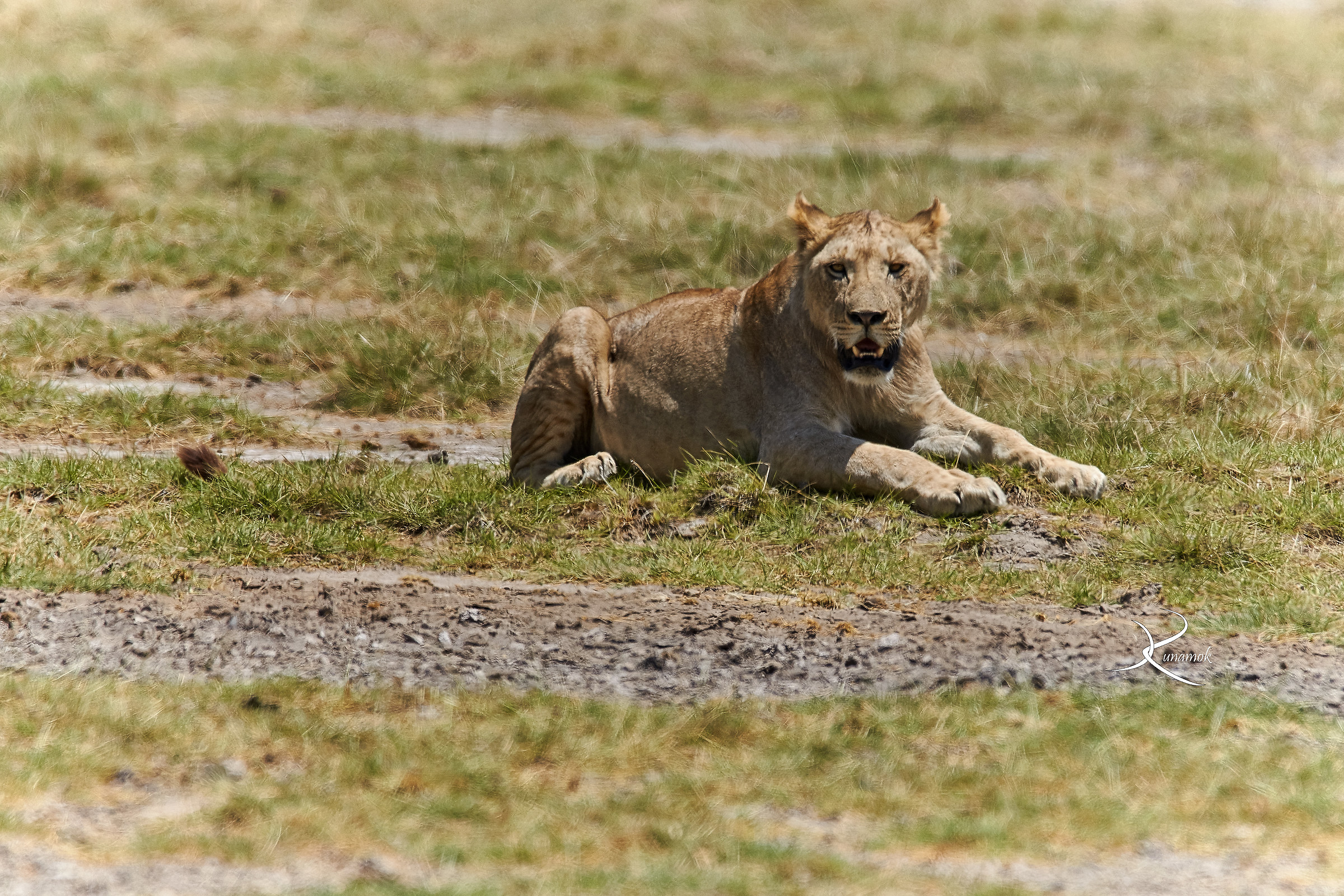 Lioness in the heat of the Savannah...