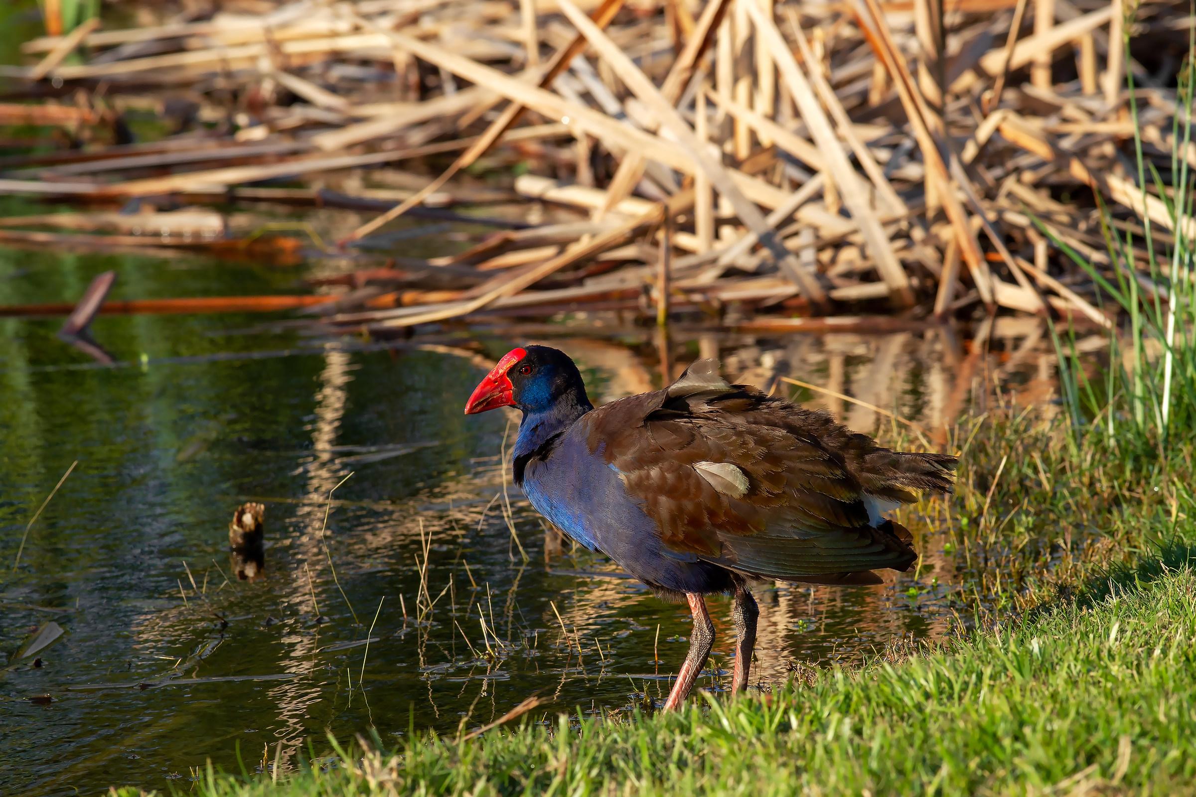 Pollo sultano - Perth Western Australia...