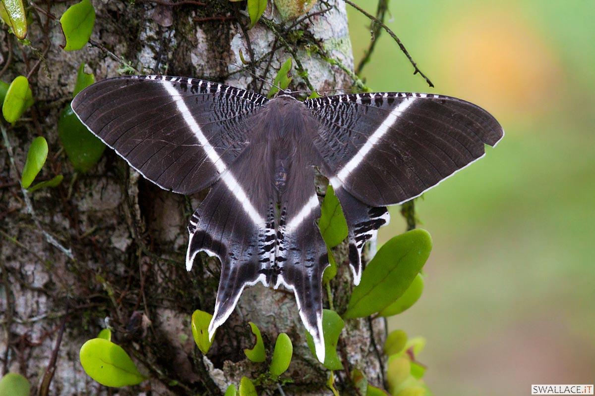 Malesia Borneo...
