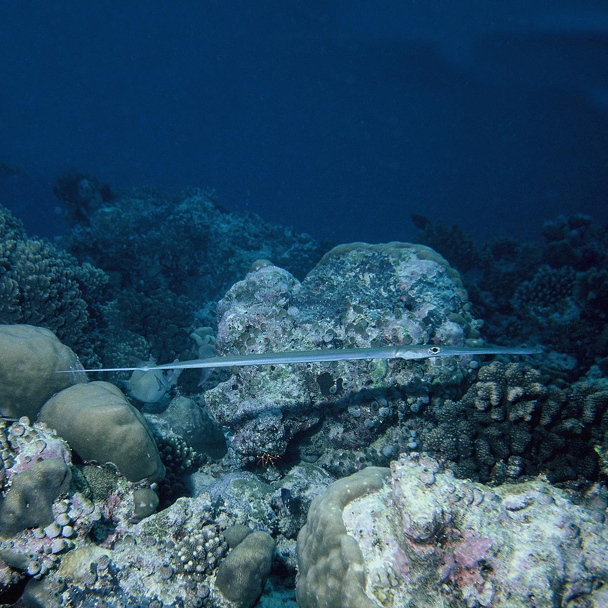 Fistularia commersonii (flute fish) Malindi ...