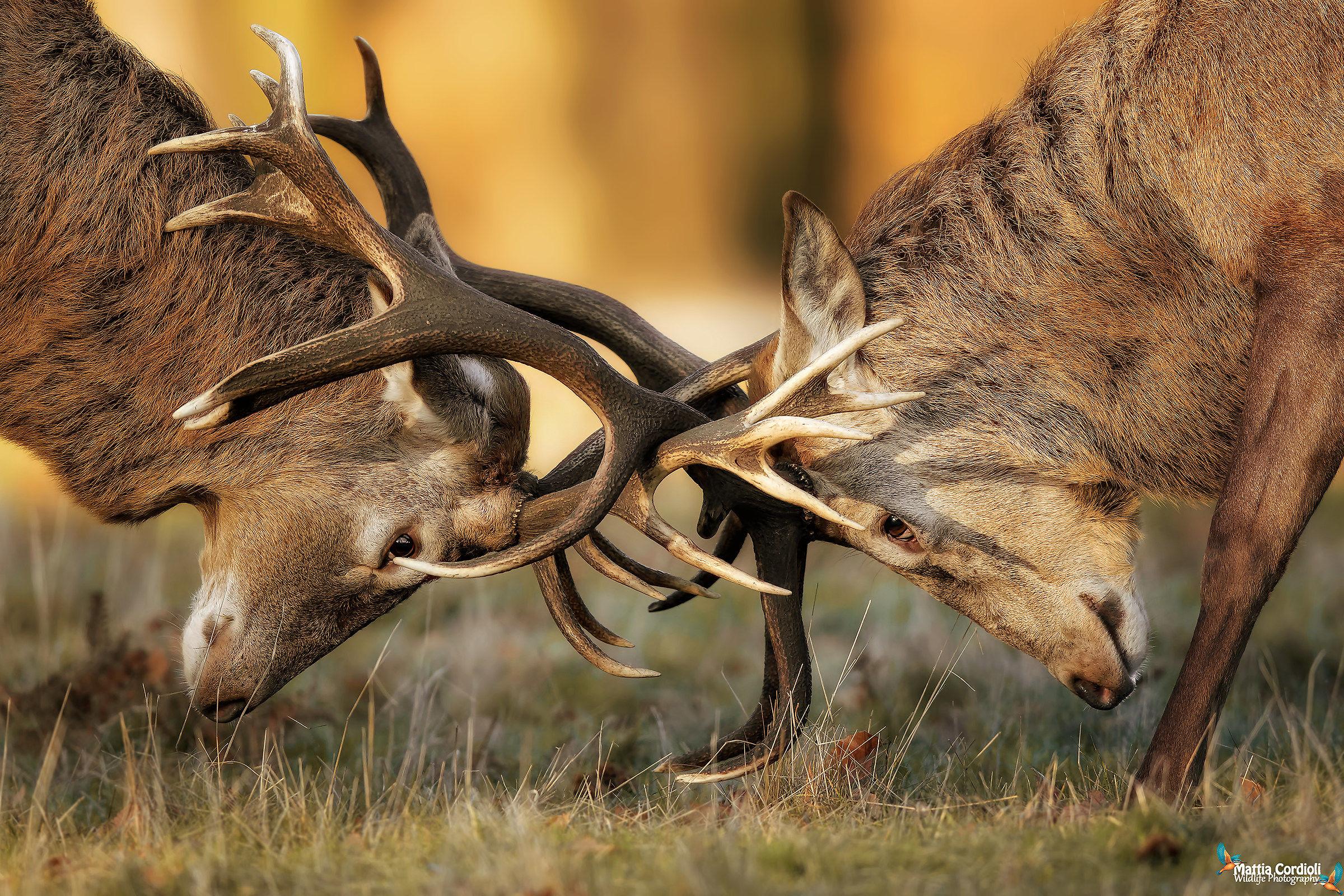 Deer fight...