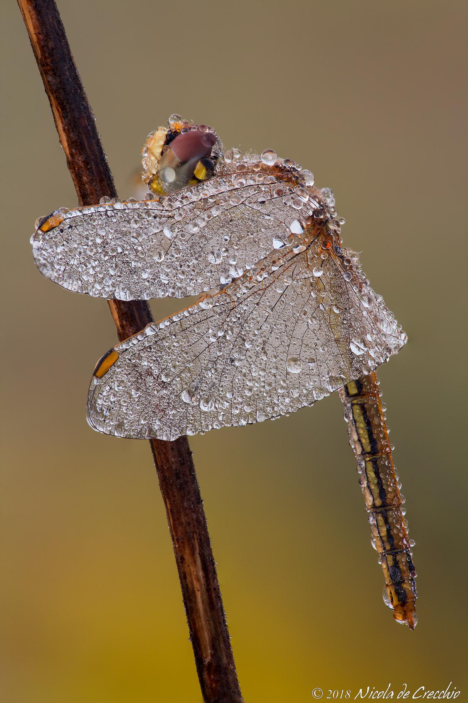 Swaro-dragonfly...