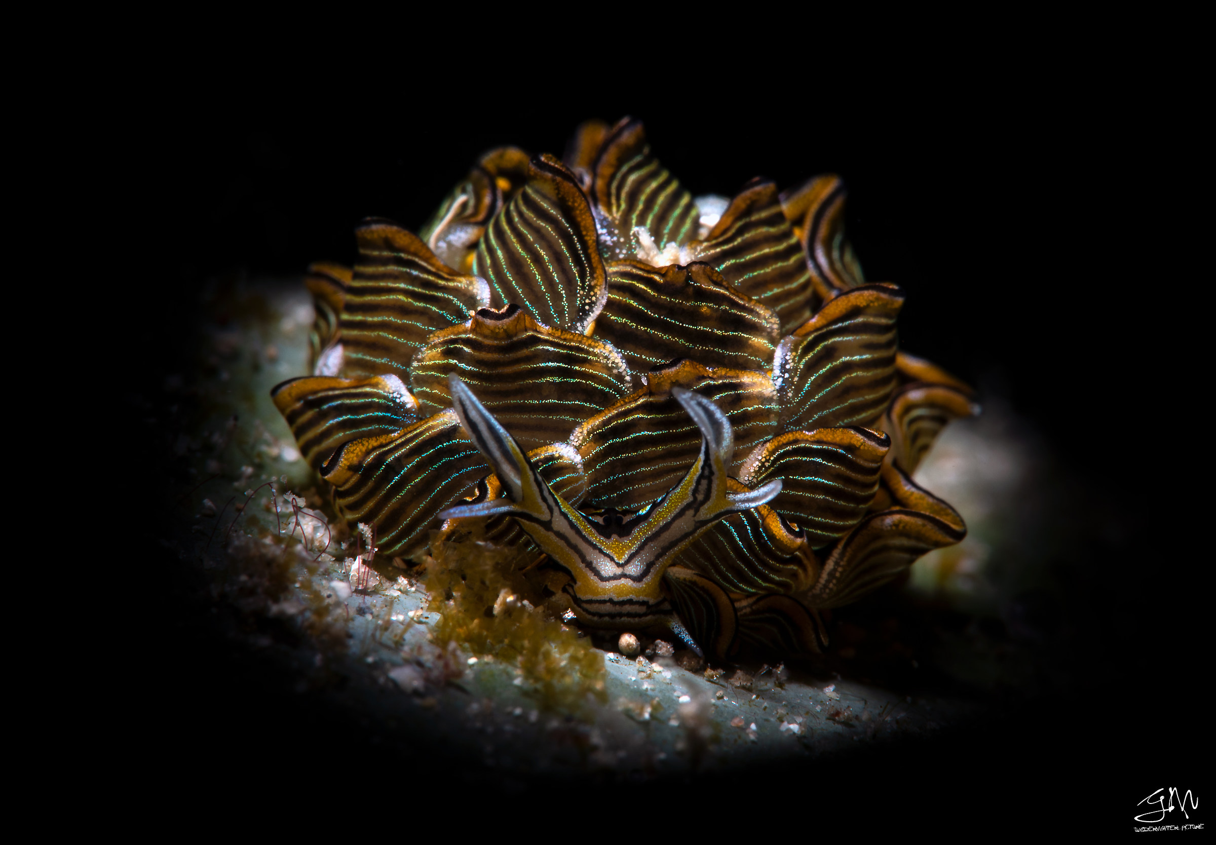 Butterfly nudibranch...