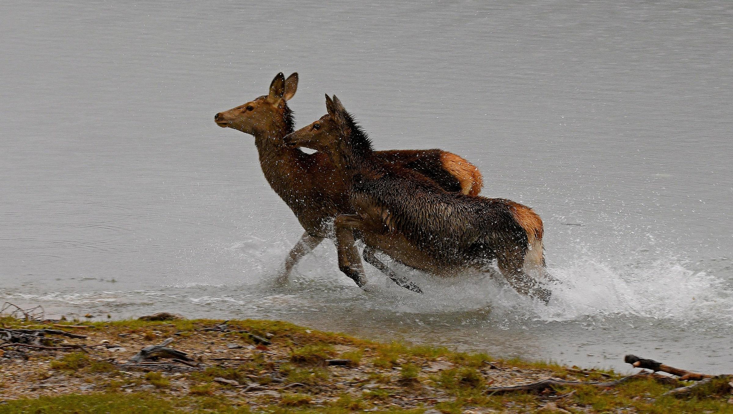 The race (Cervus elaphus)...