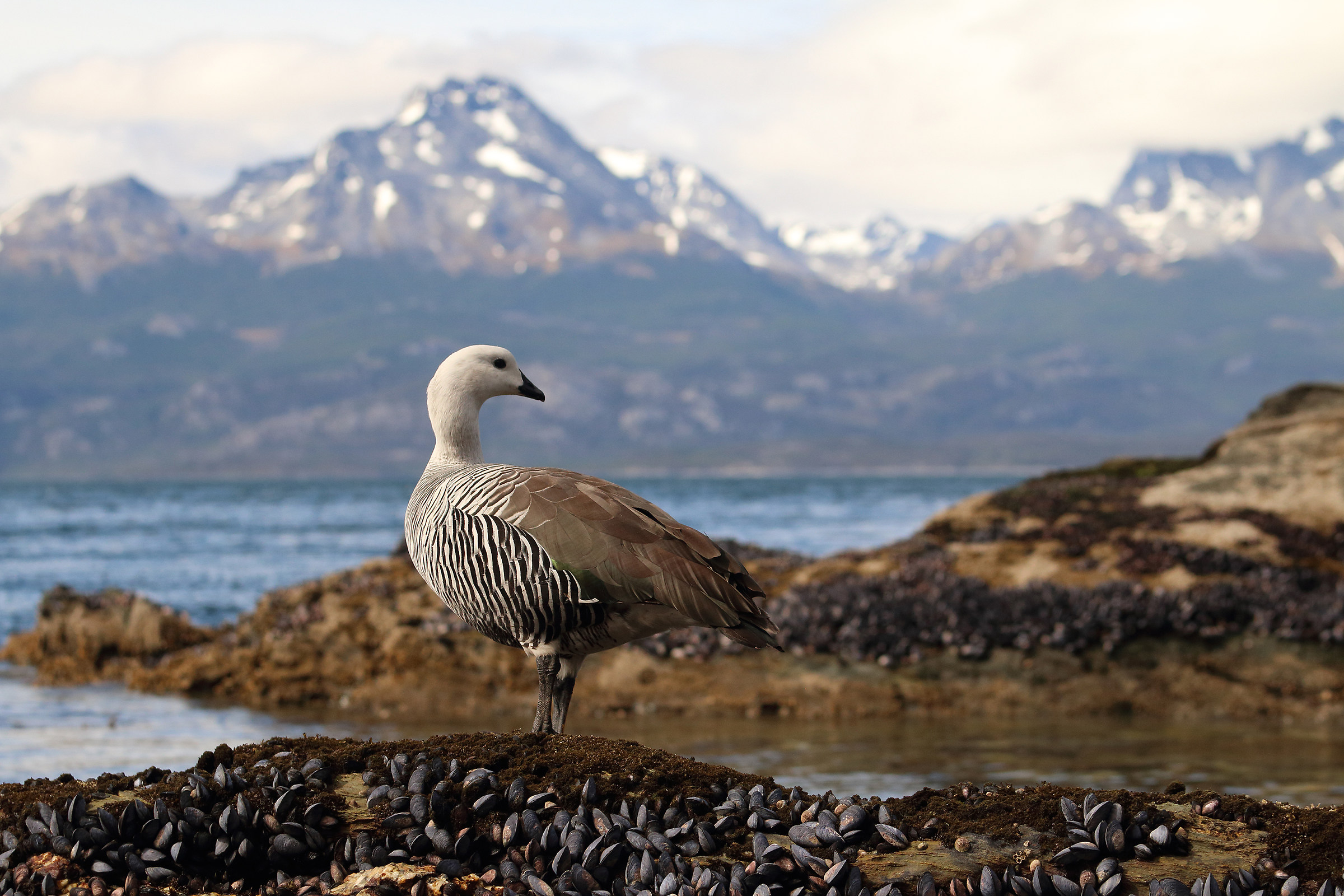 oca patagonica...