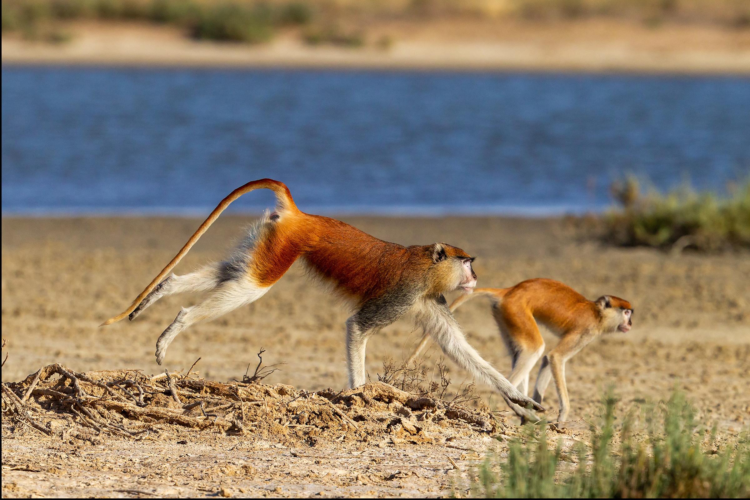 Coppia di scimmie rosse del Senegal (male and female)...