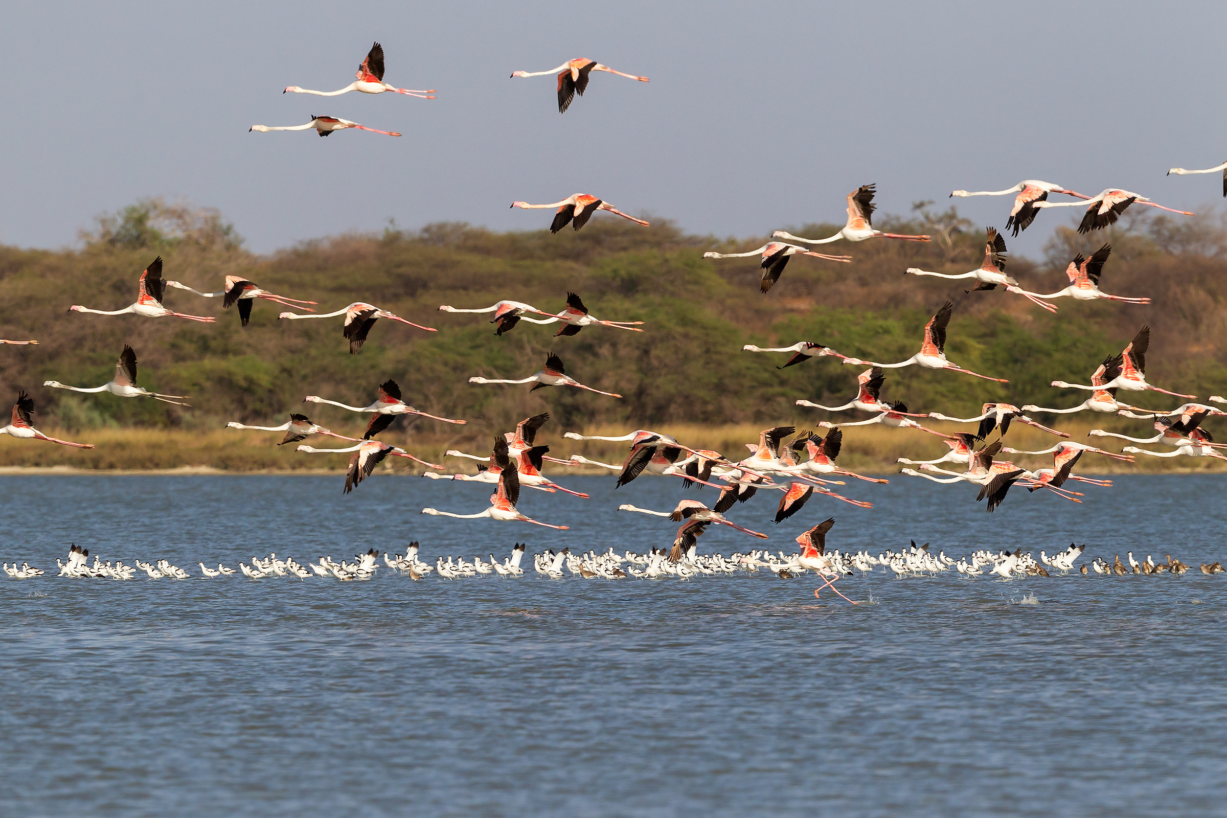 The roll of the Flamingos...