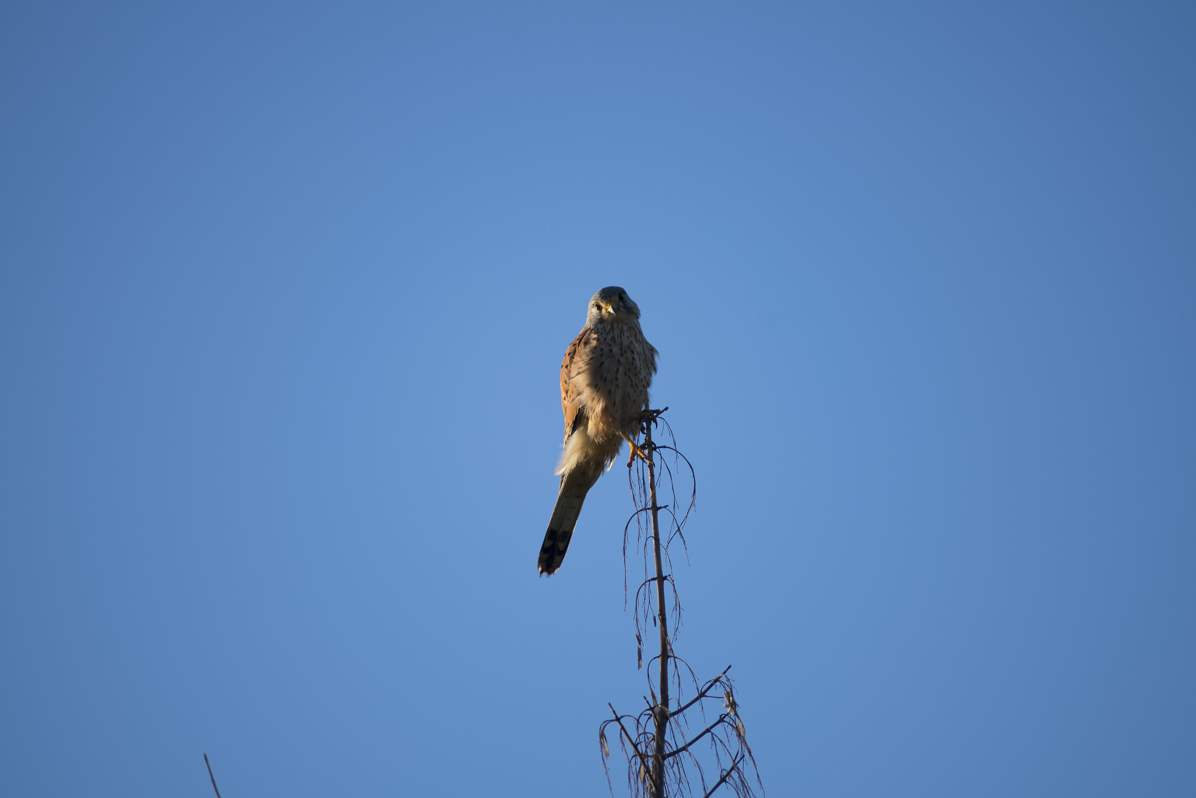 Common Kestrel Reserve of the Marcigliana Roma...