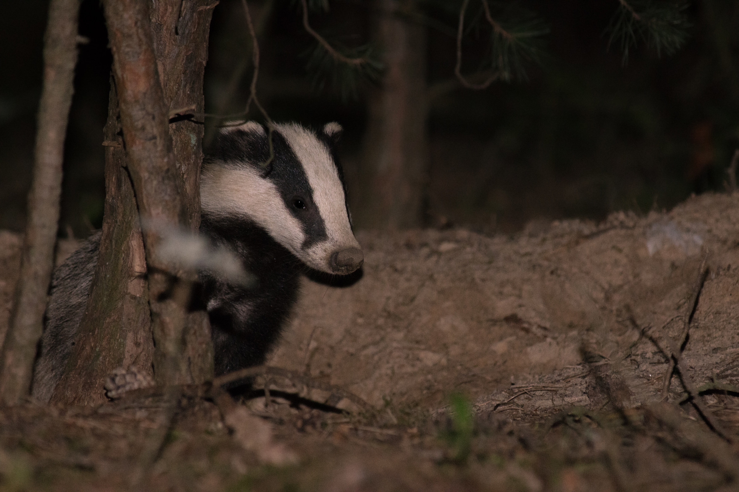 European badger (Meles meles)...
