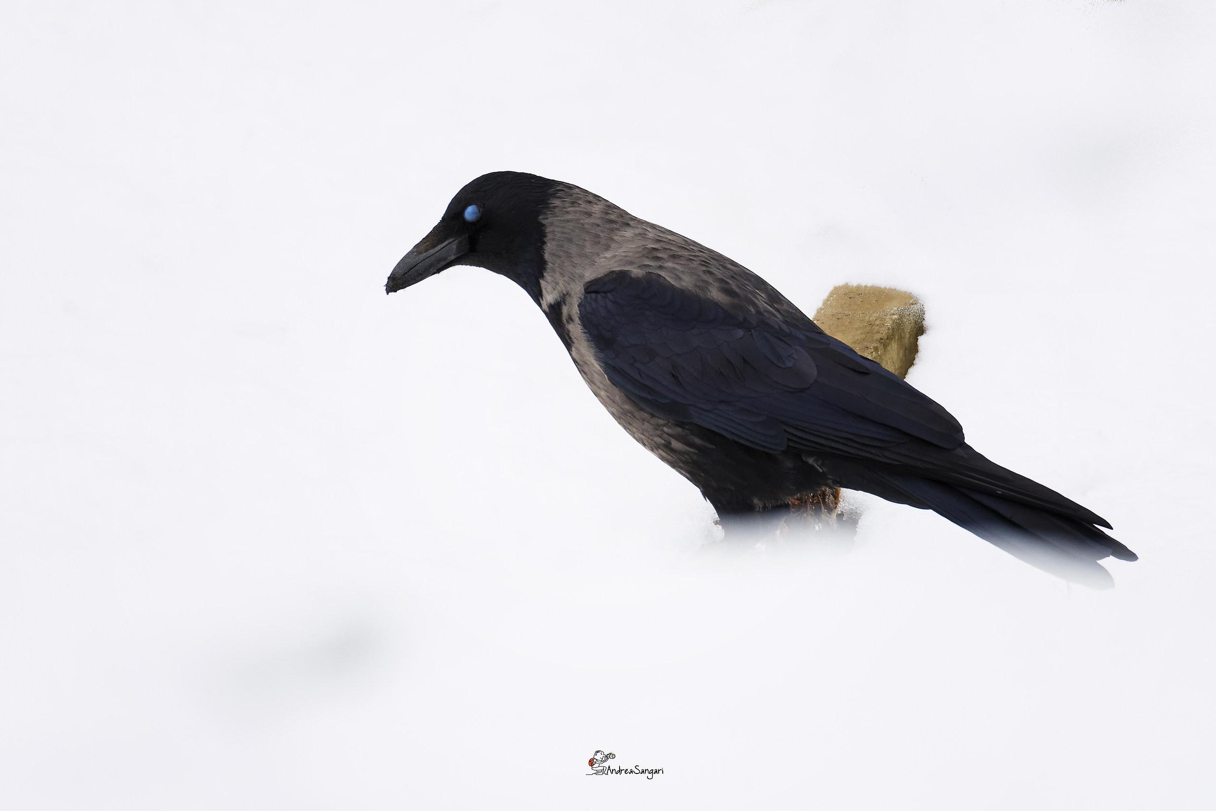 The Snowy Crow...