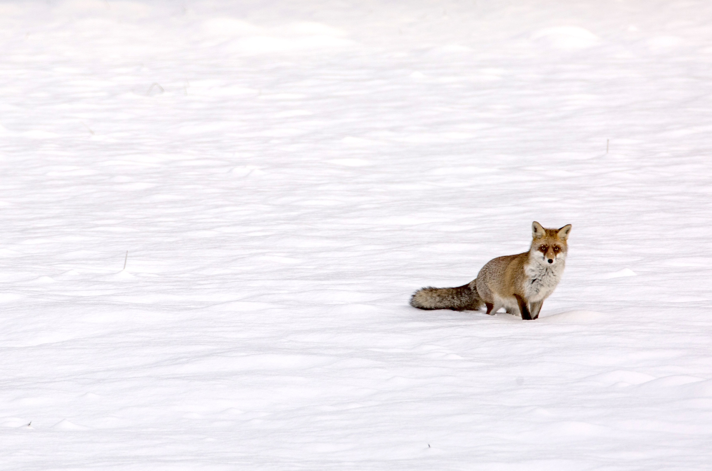Wild Fox...