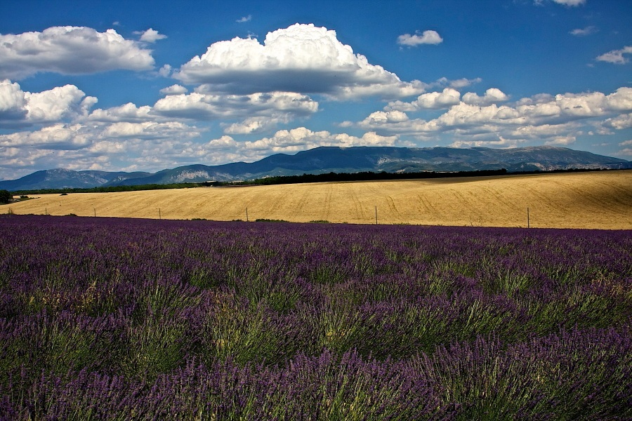 Lavender is wheat...