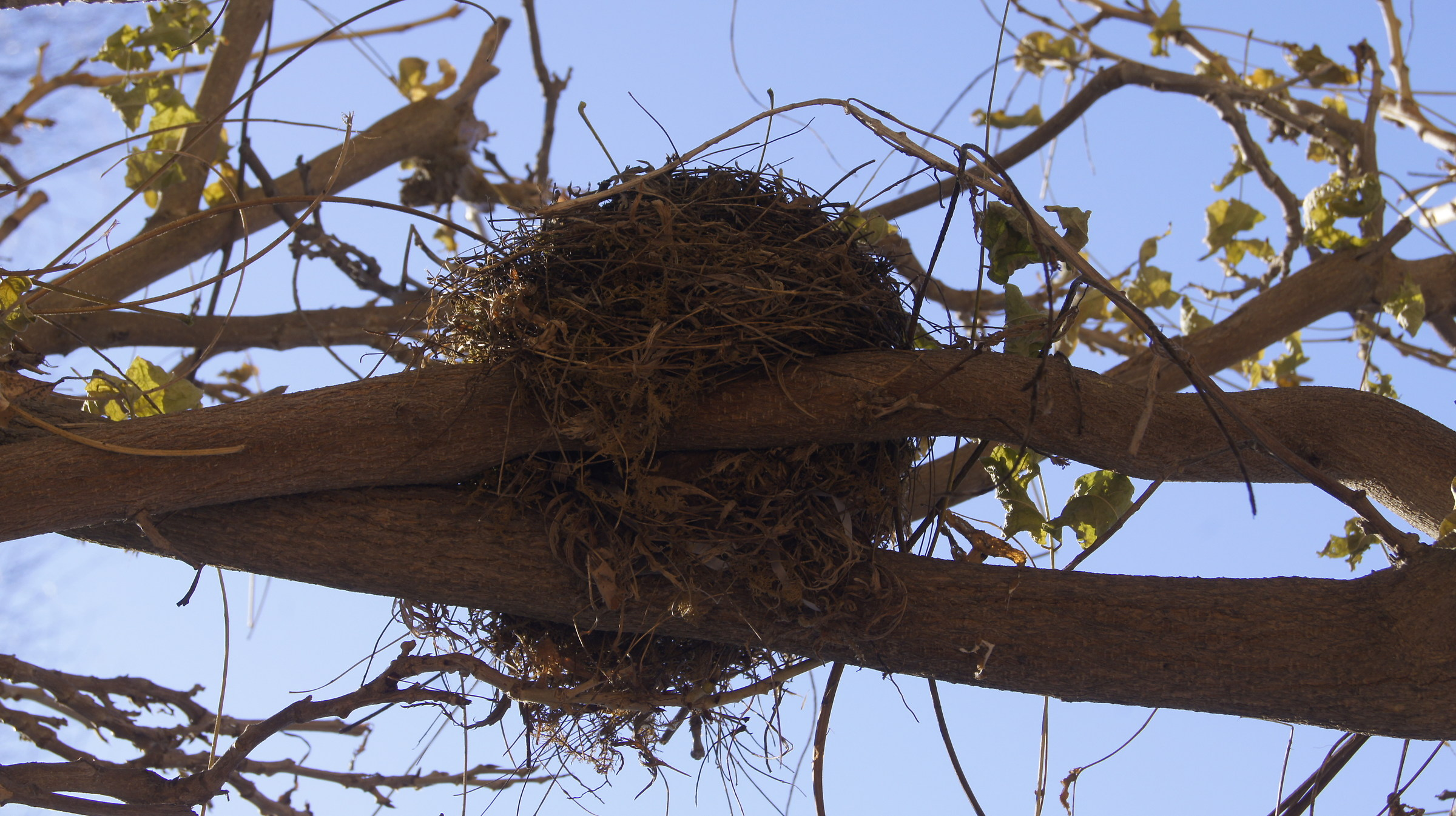 Nest in to a wisteria...