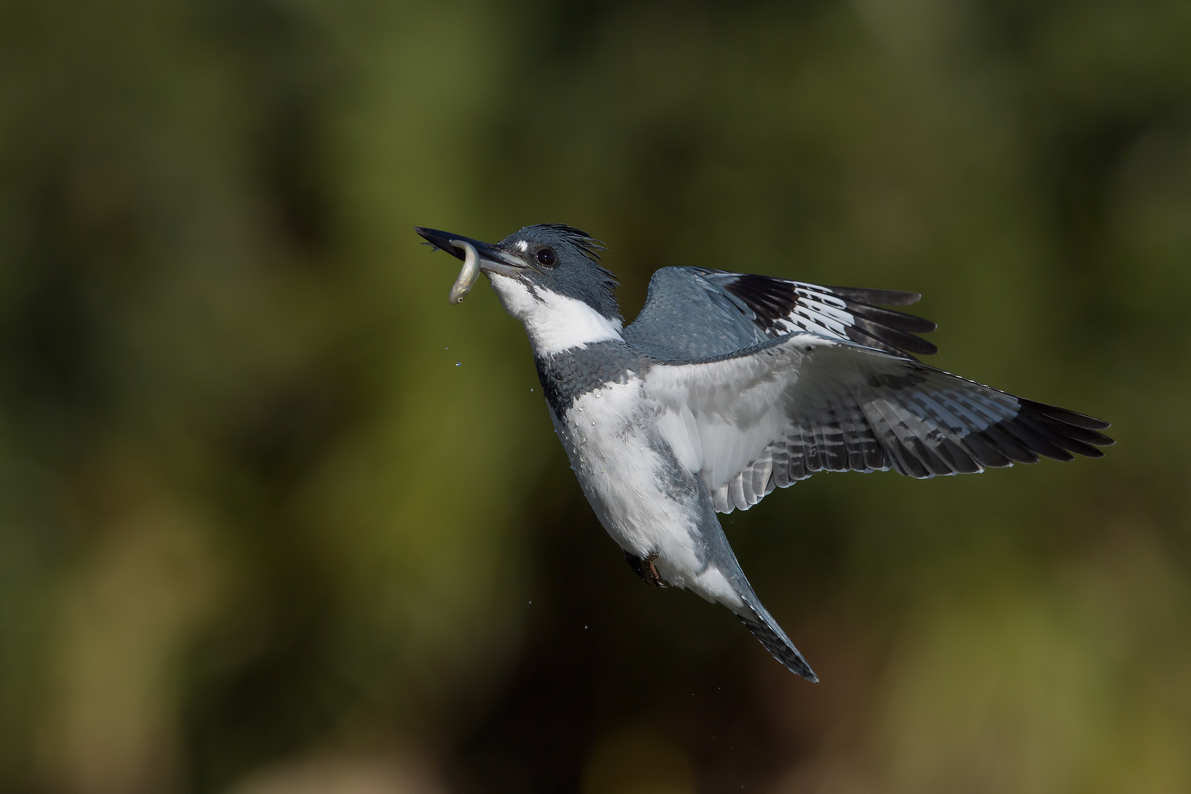 Belted Kingfisher...