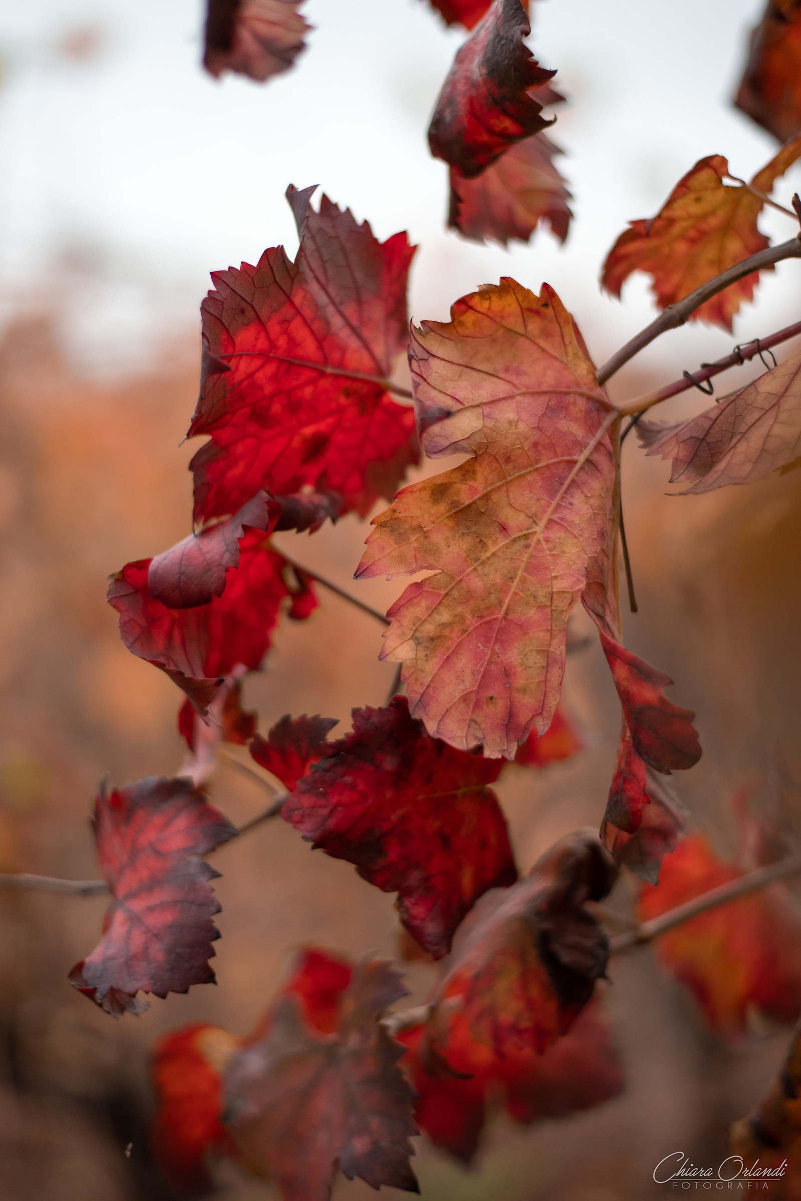 Autumn Vines...