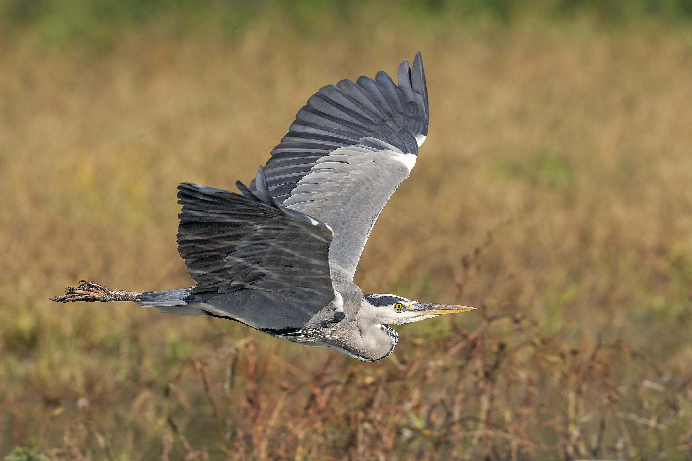Heron...