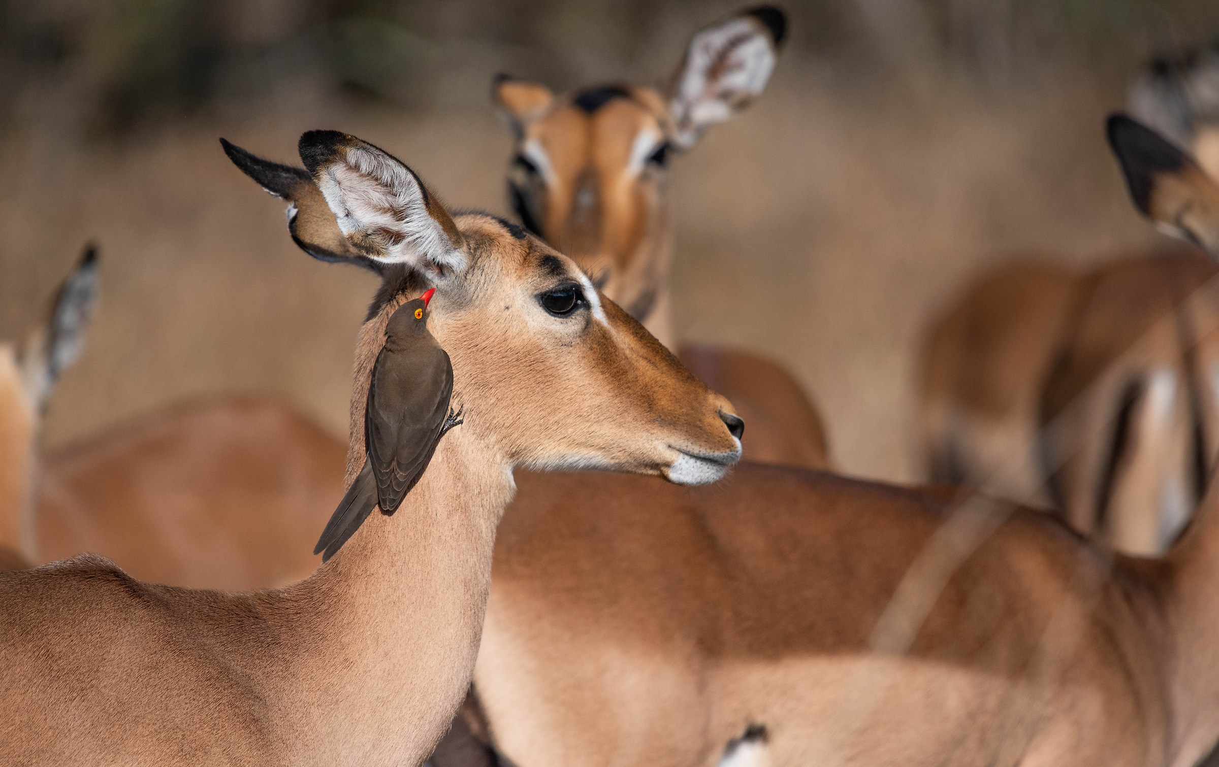 Impala-South Africa...