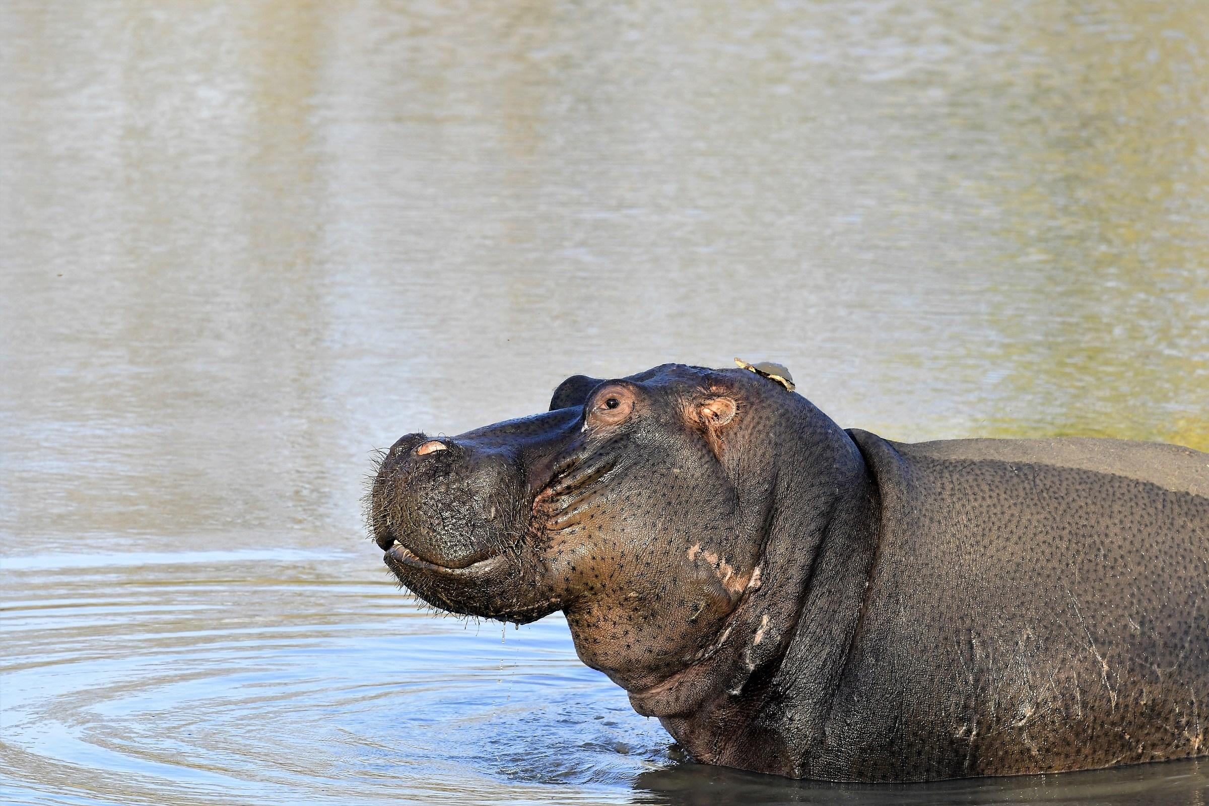 Hippo ...
