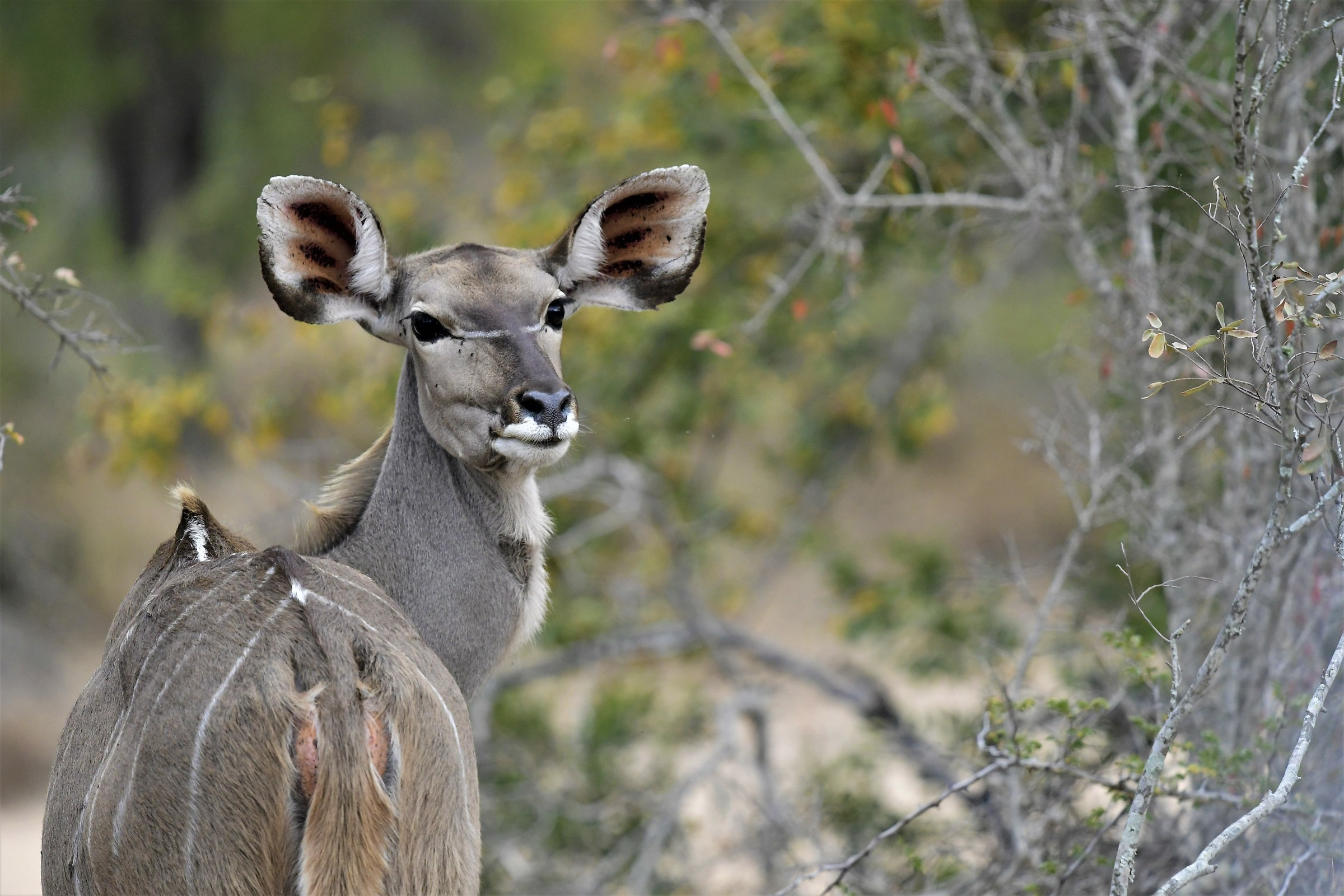 African Senior female Kudu antelope ...