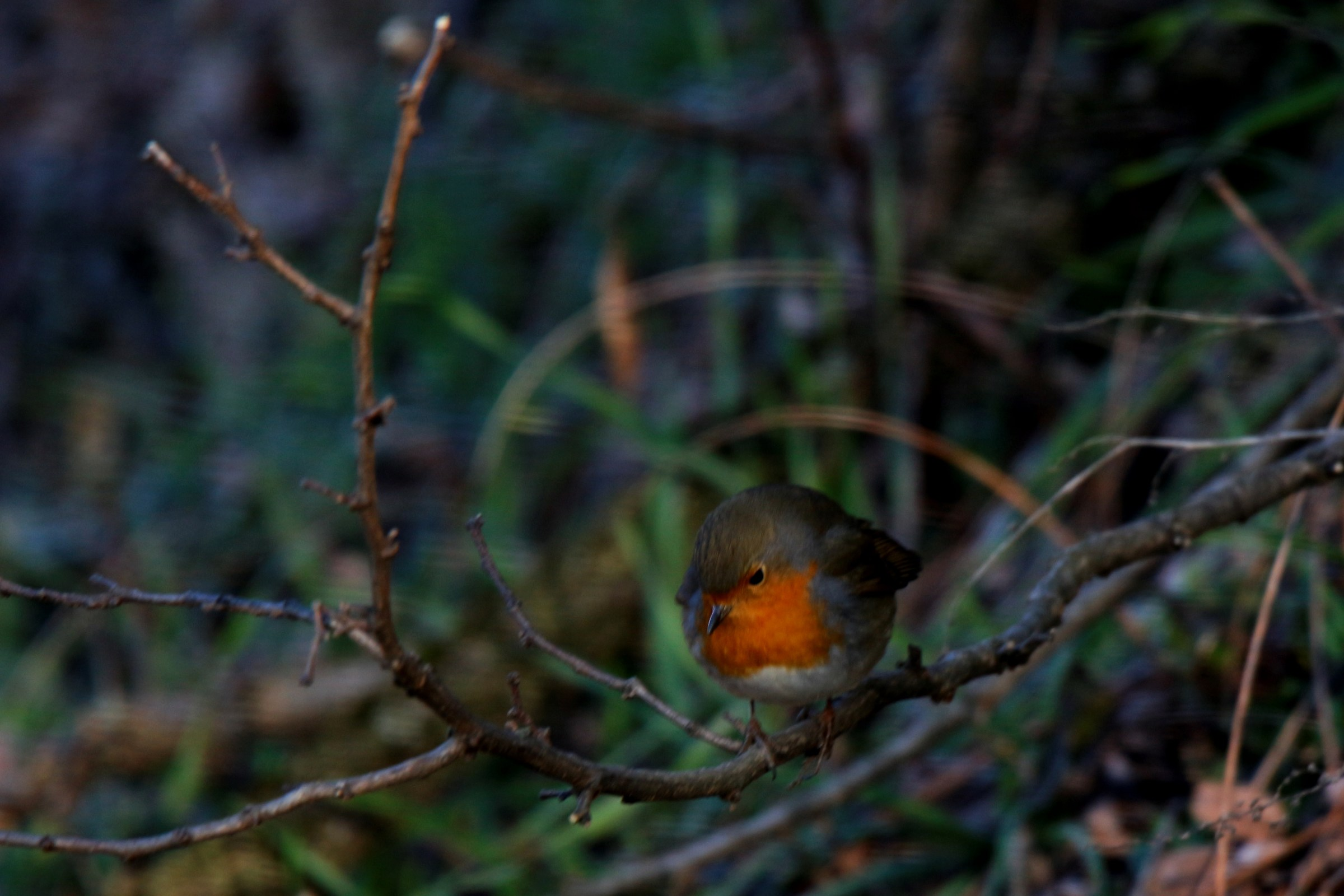 The cold Robin (try 150-600)...