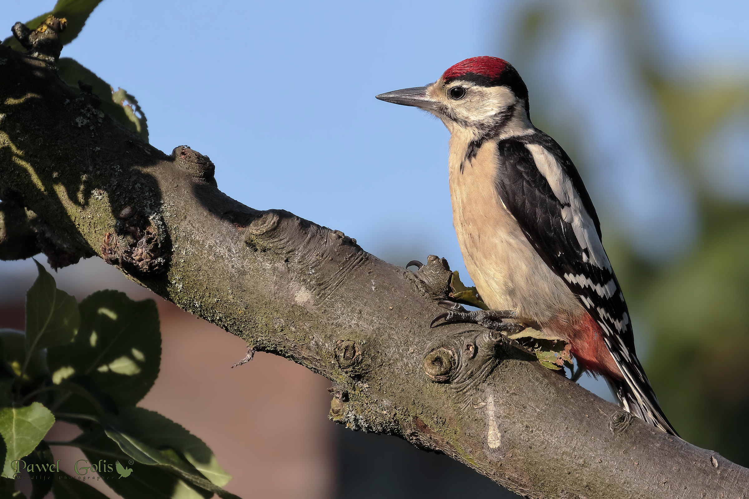 Middle spotted woodpecker (Dendrocoptes medius)...