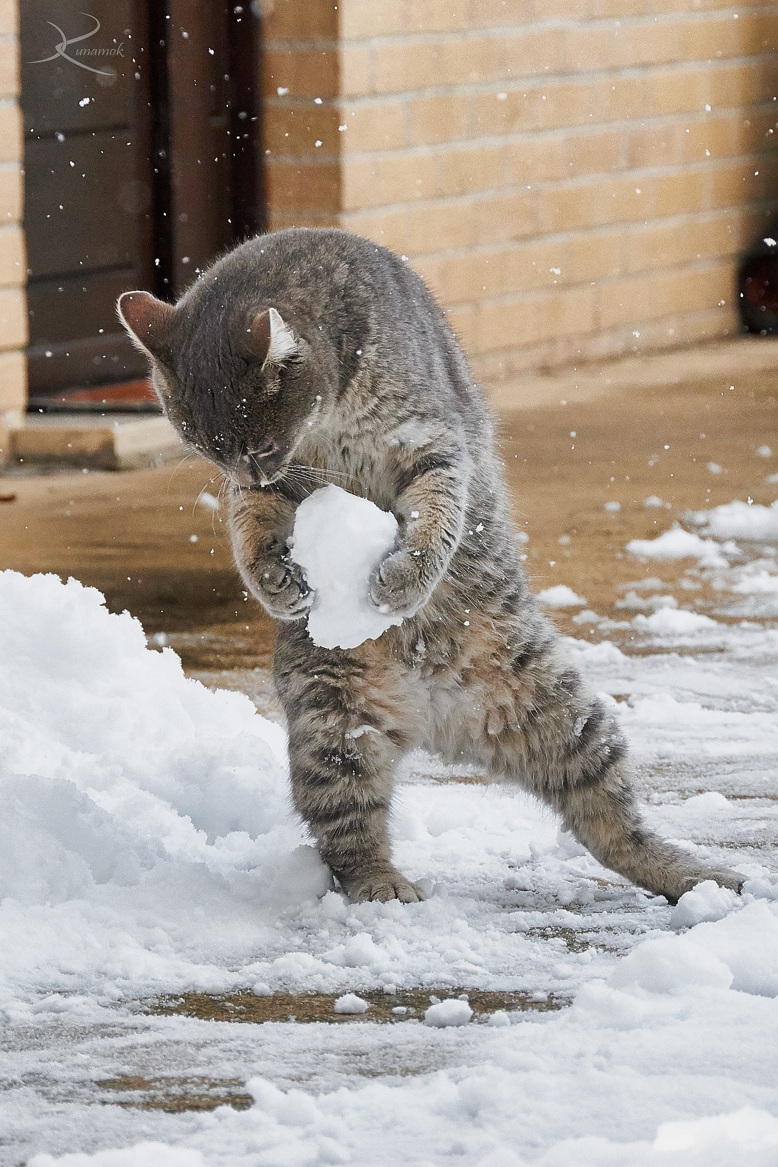 The kitten Pelù plays with the snow of its first winter...