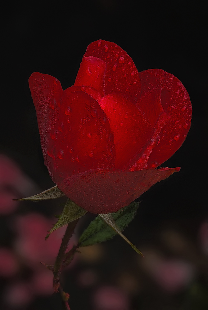 Beginning of year with a red rose...