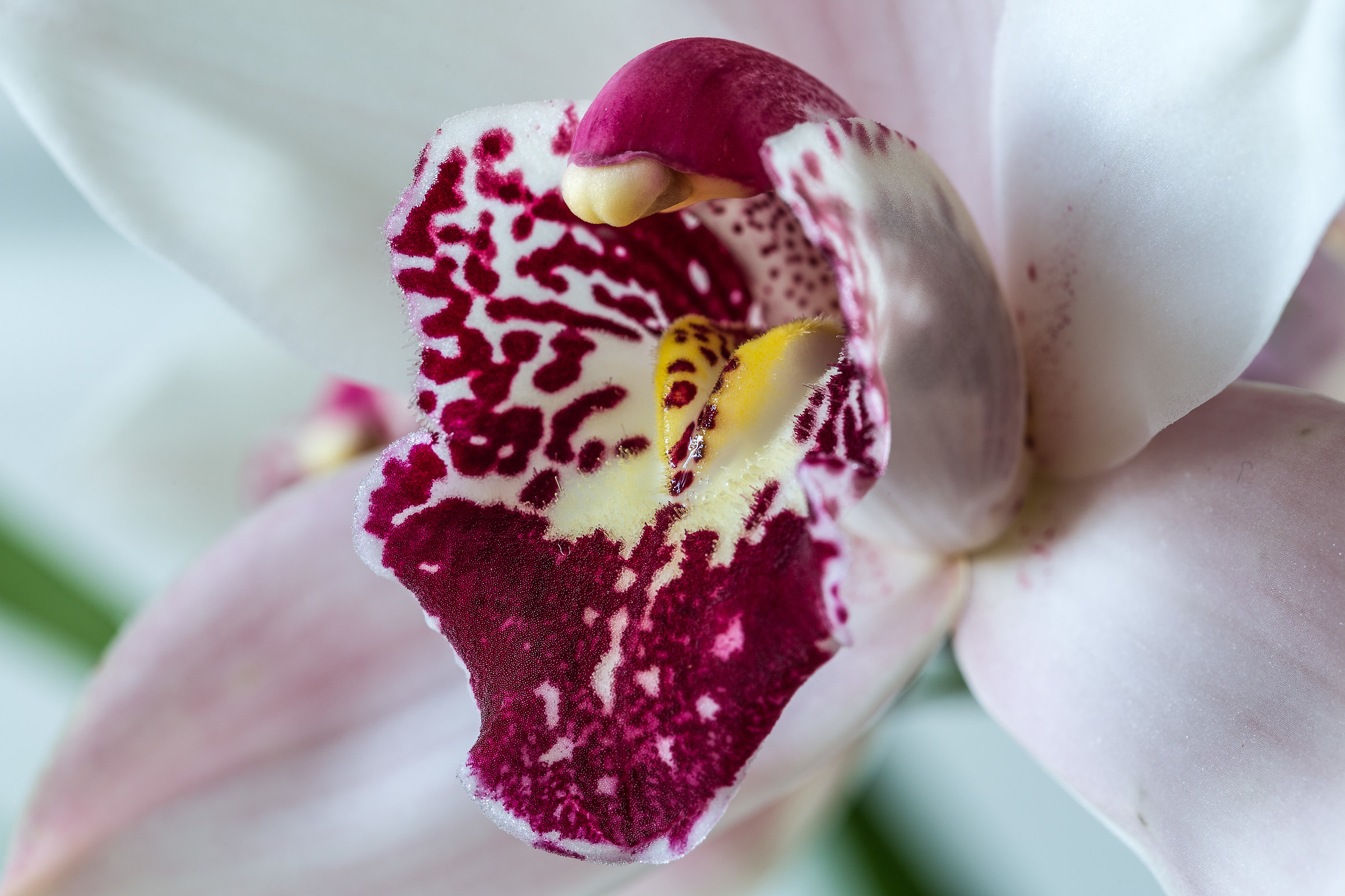 Orchidea Cymbidium...