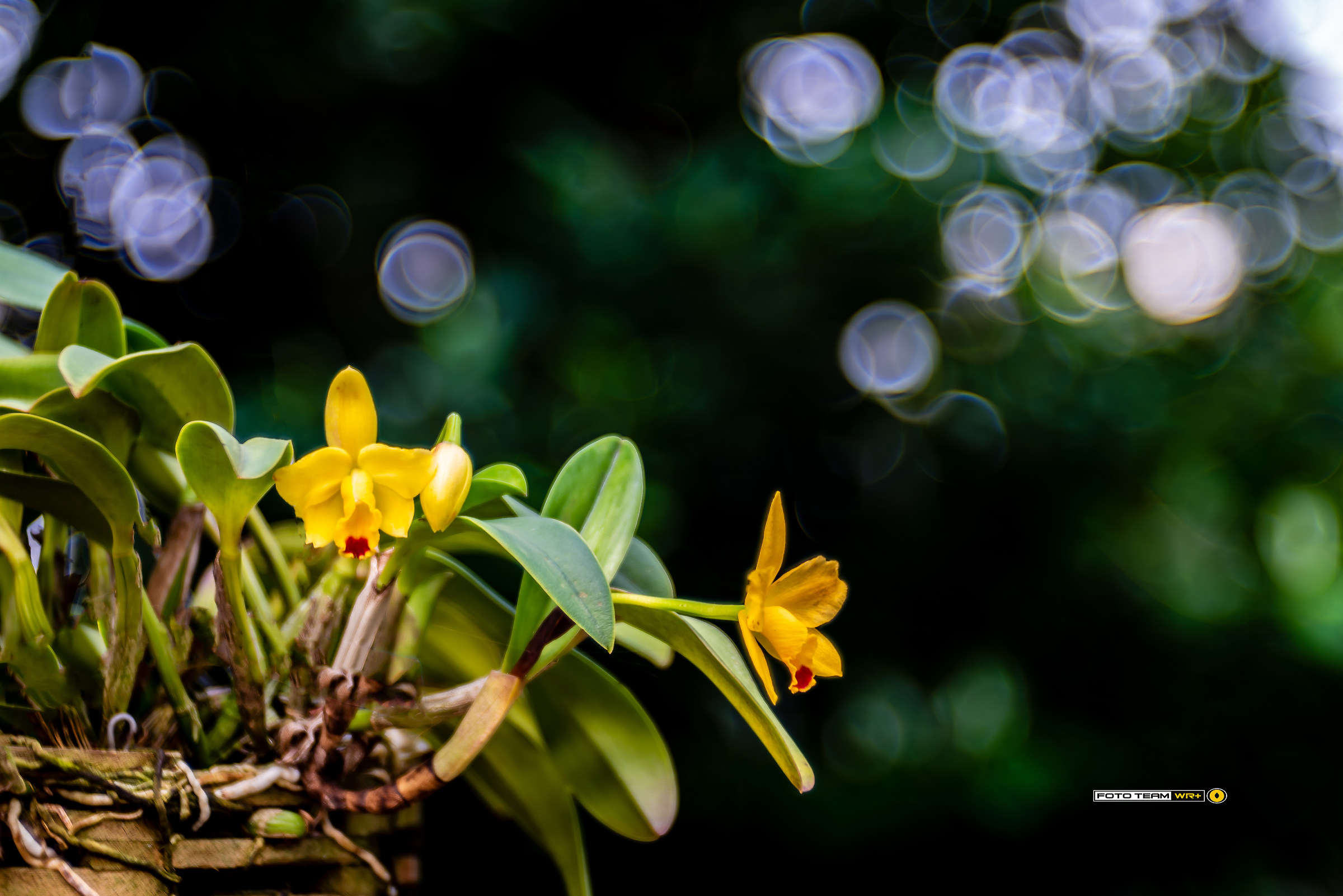 The world of orchids seen with the Trioplan...