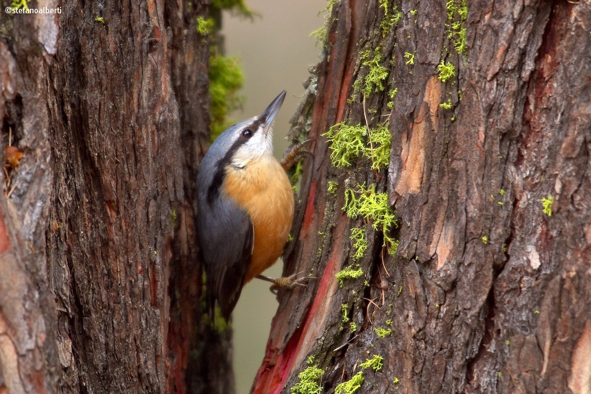 Woodpecker Mason...