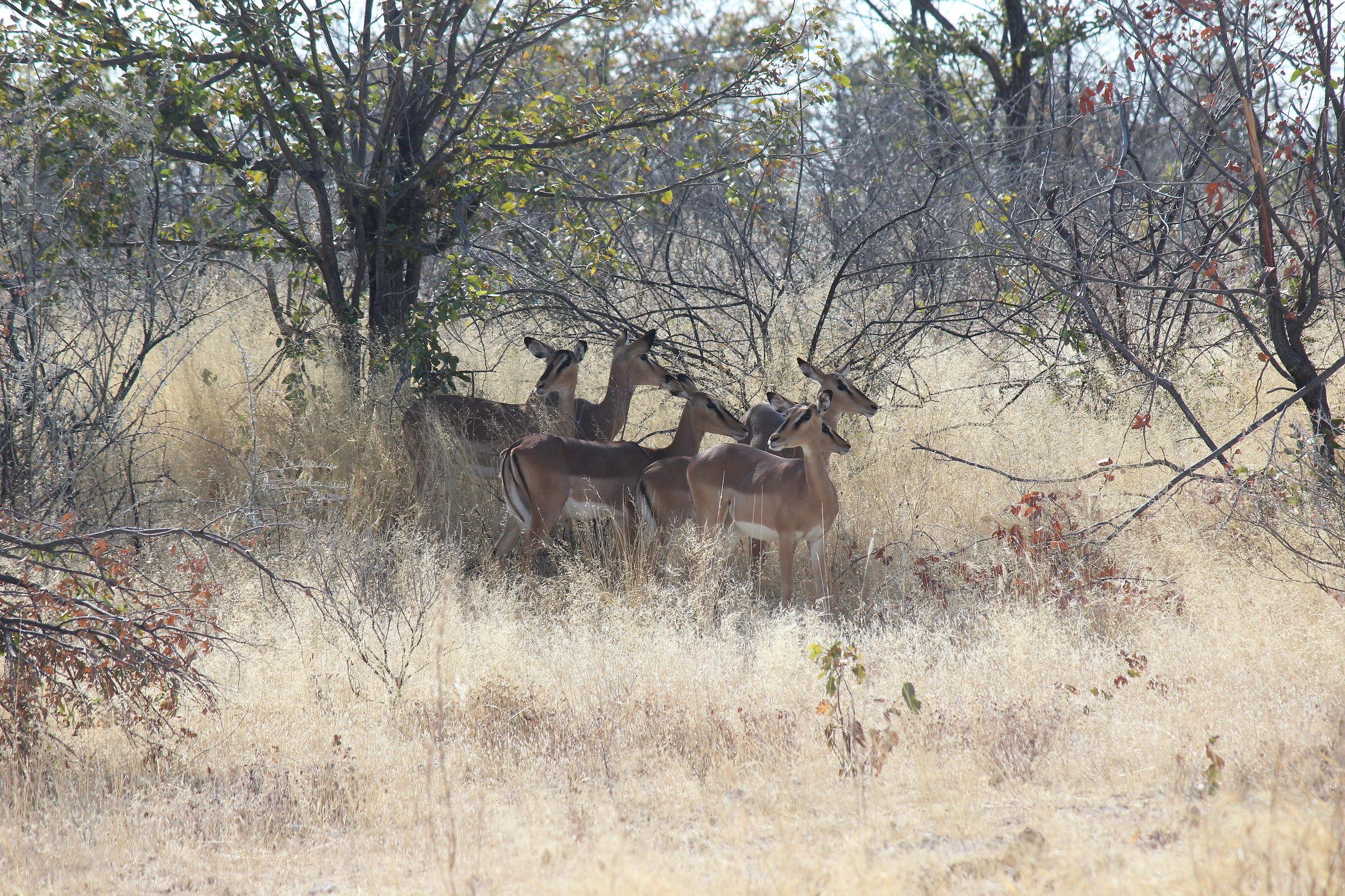 In the shade-black faced Impala ...