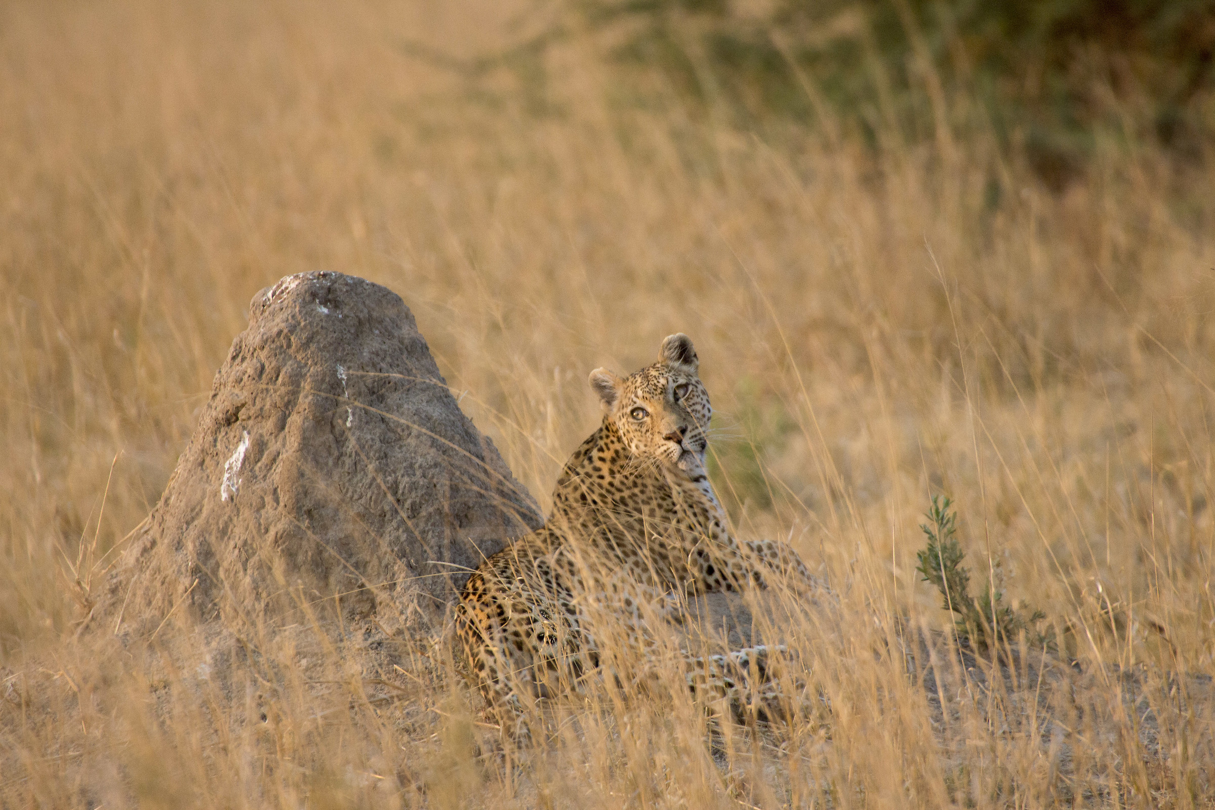 Leopardo, mi vedi?...