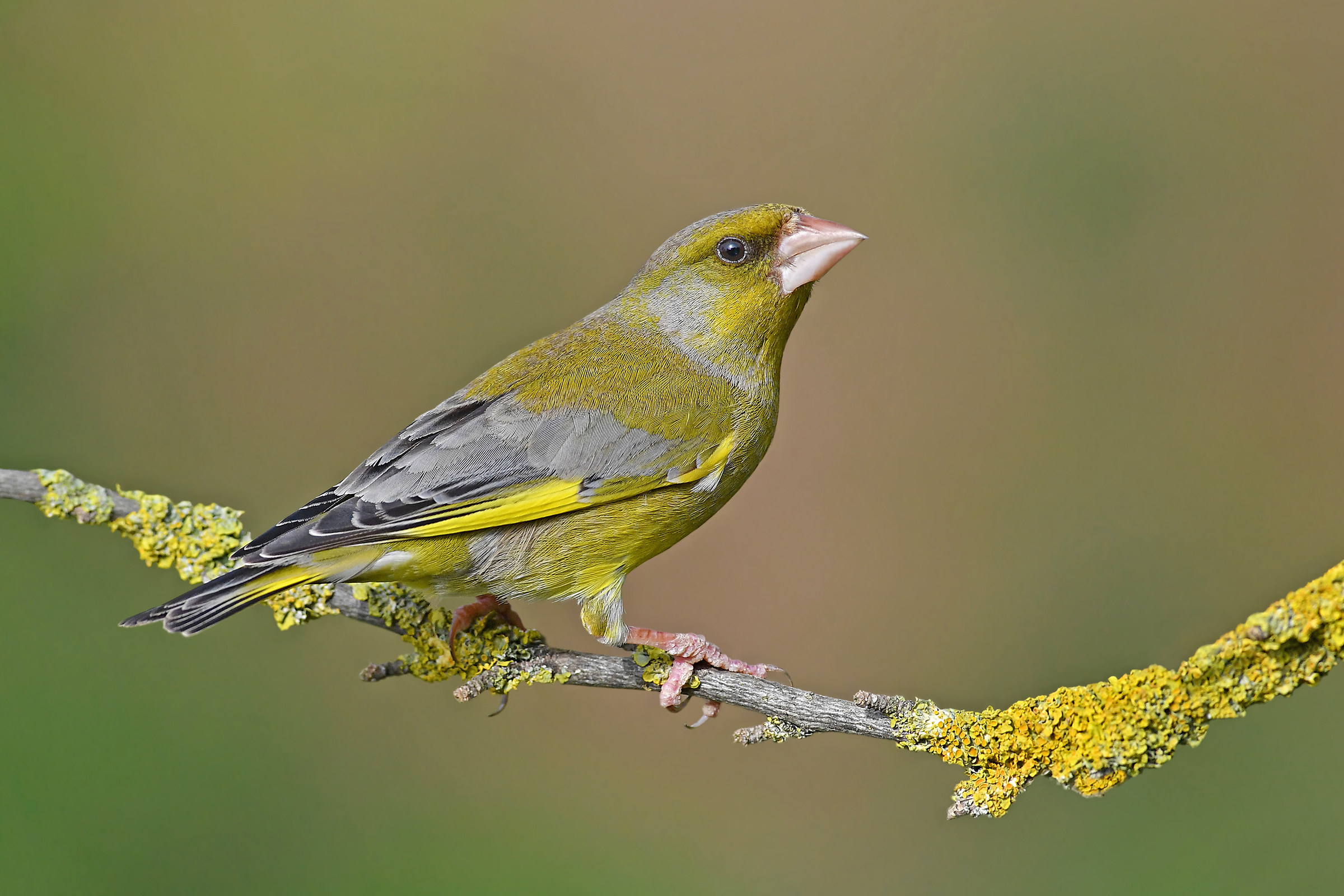 Stories of Feathers 6 (greenfinch)...
