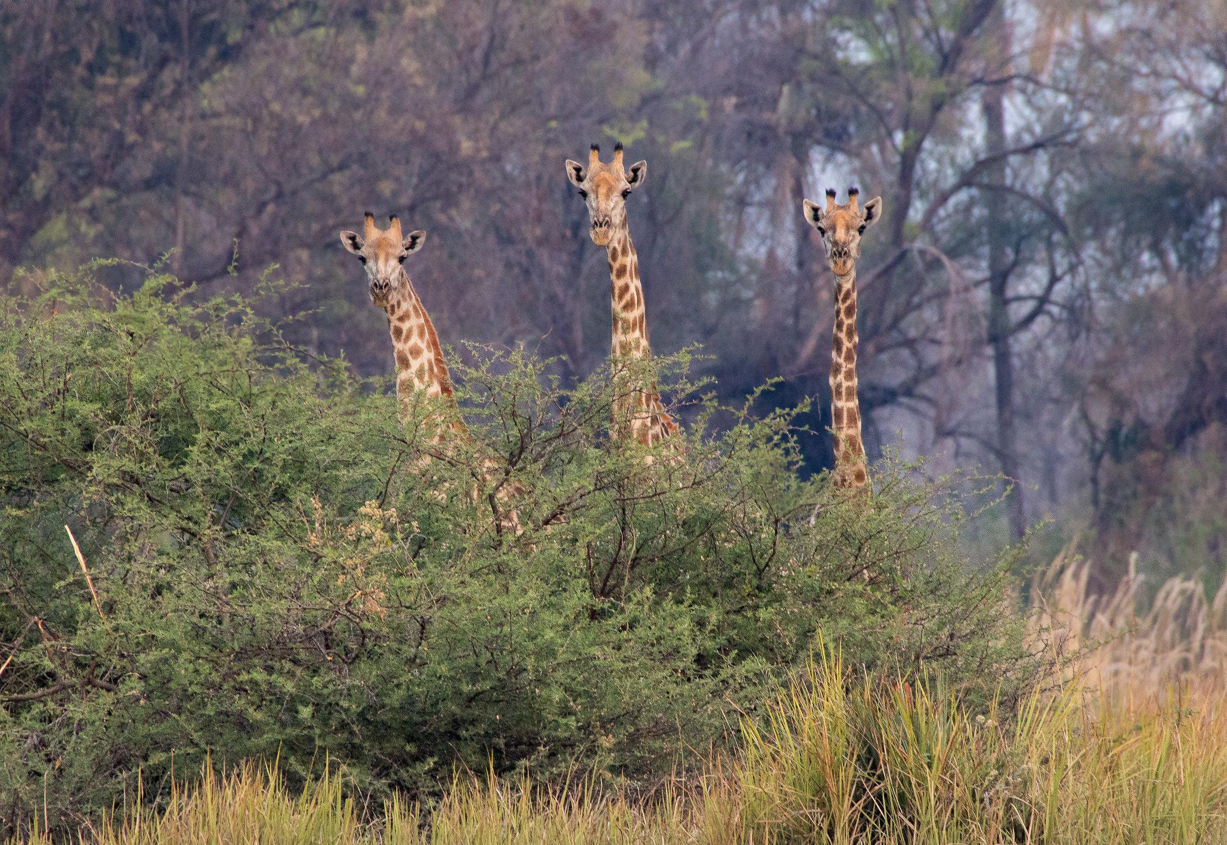 But the giraffe, which is giraffà?...