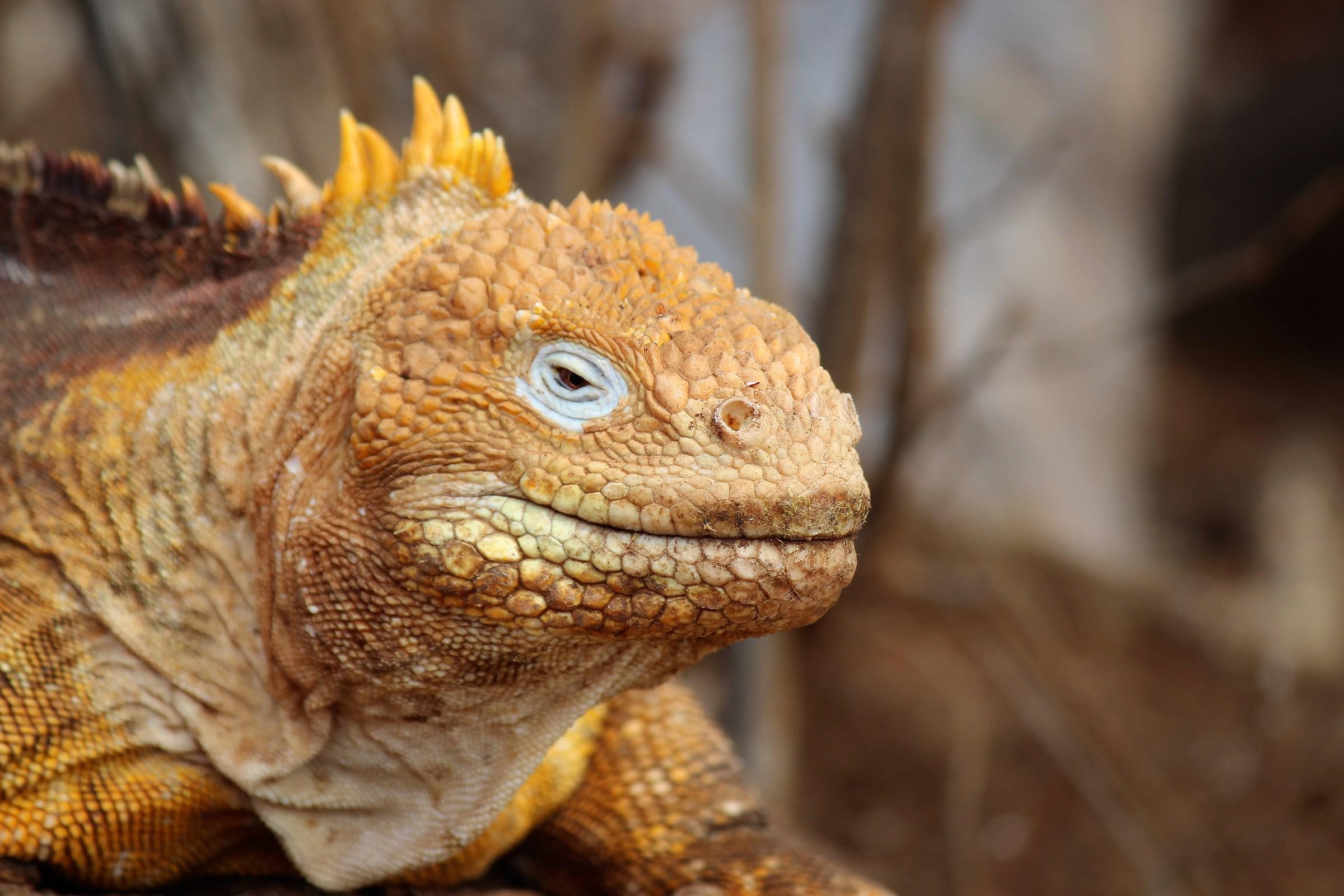 Land Iguana-North Seymour ...