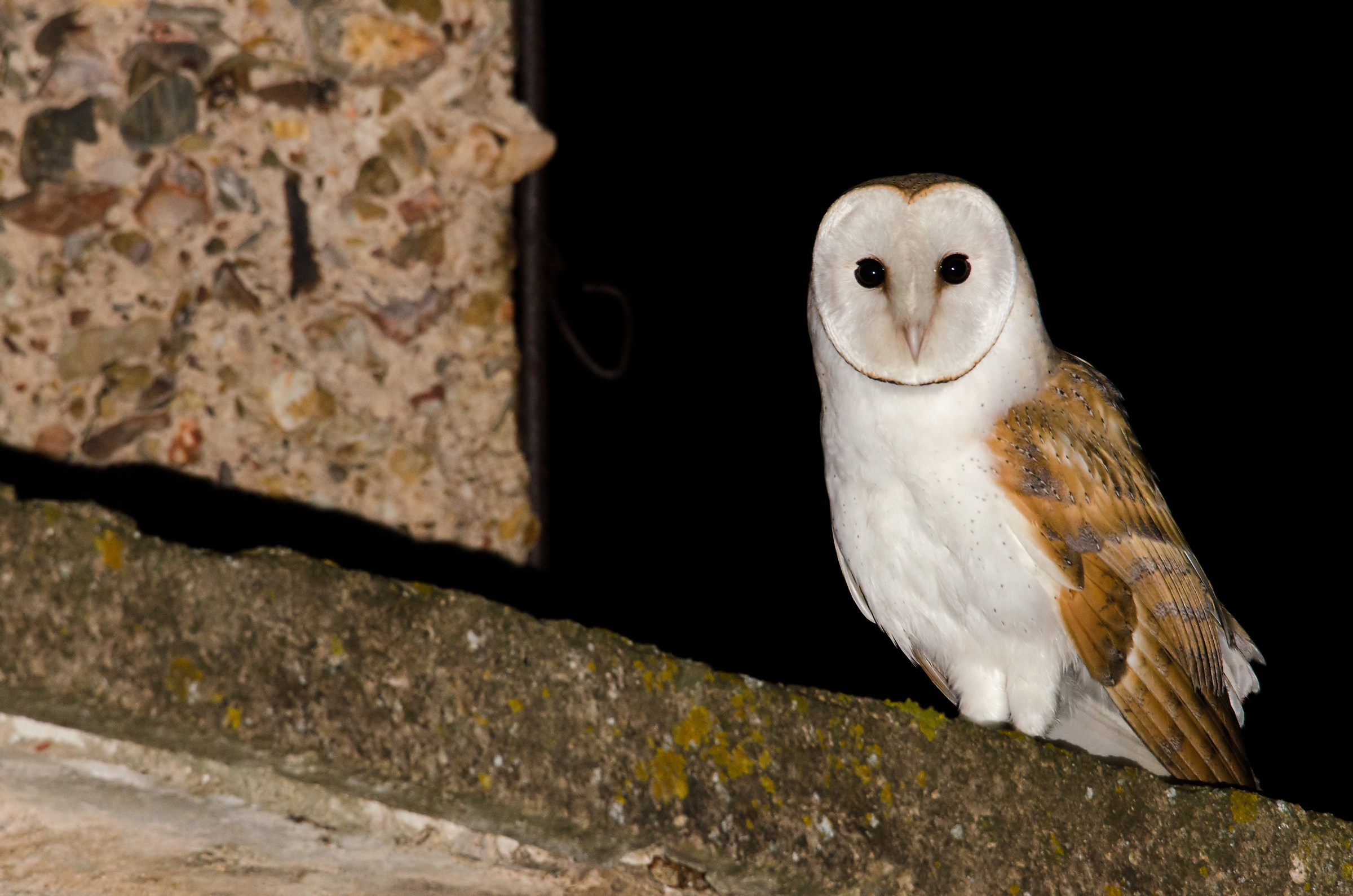 Barn Owl...