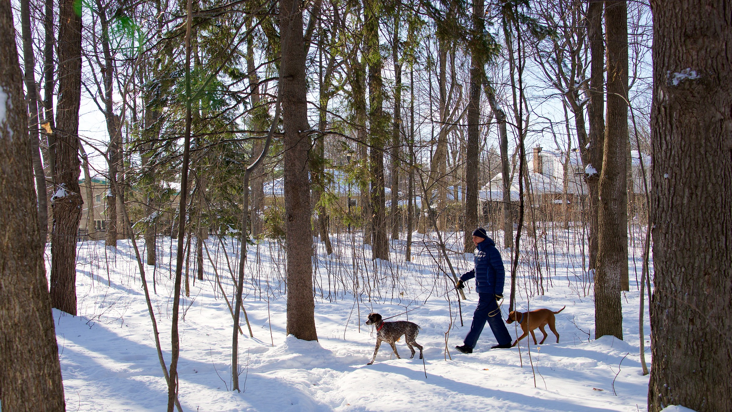 He walks in the woods with his dogs- Quebec City...