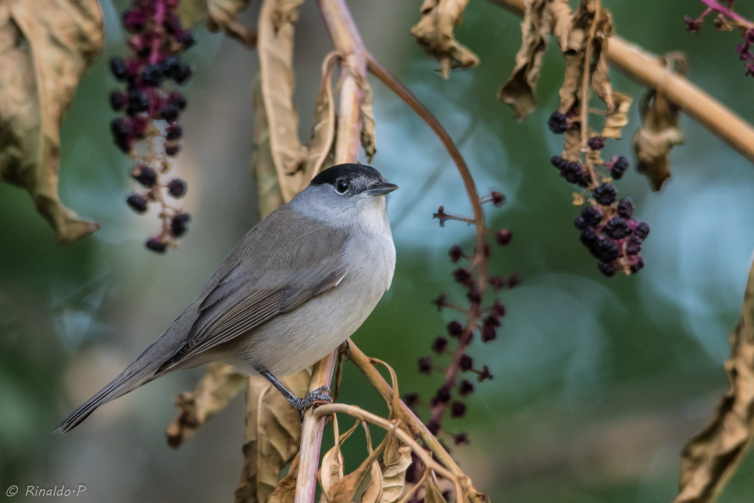 Male Blackcap...
