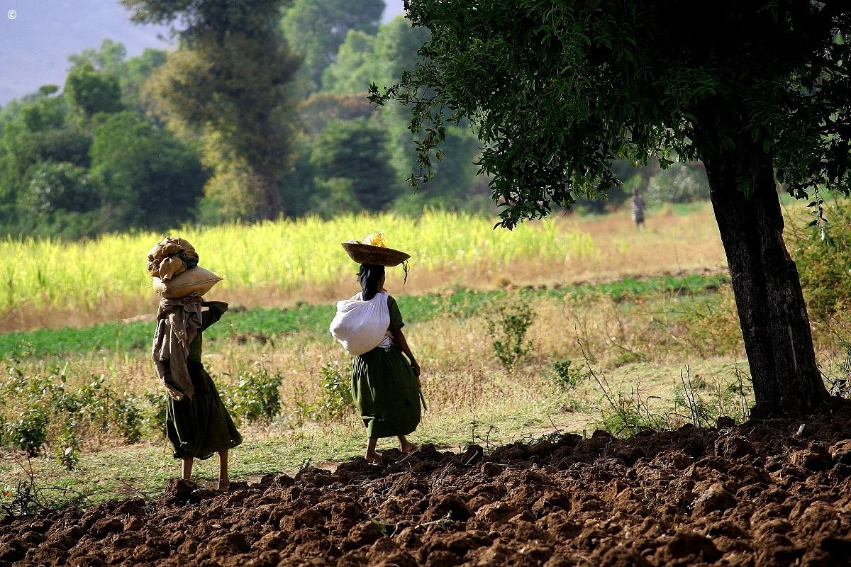 campi sul Nilo azzurro - Etiopia...