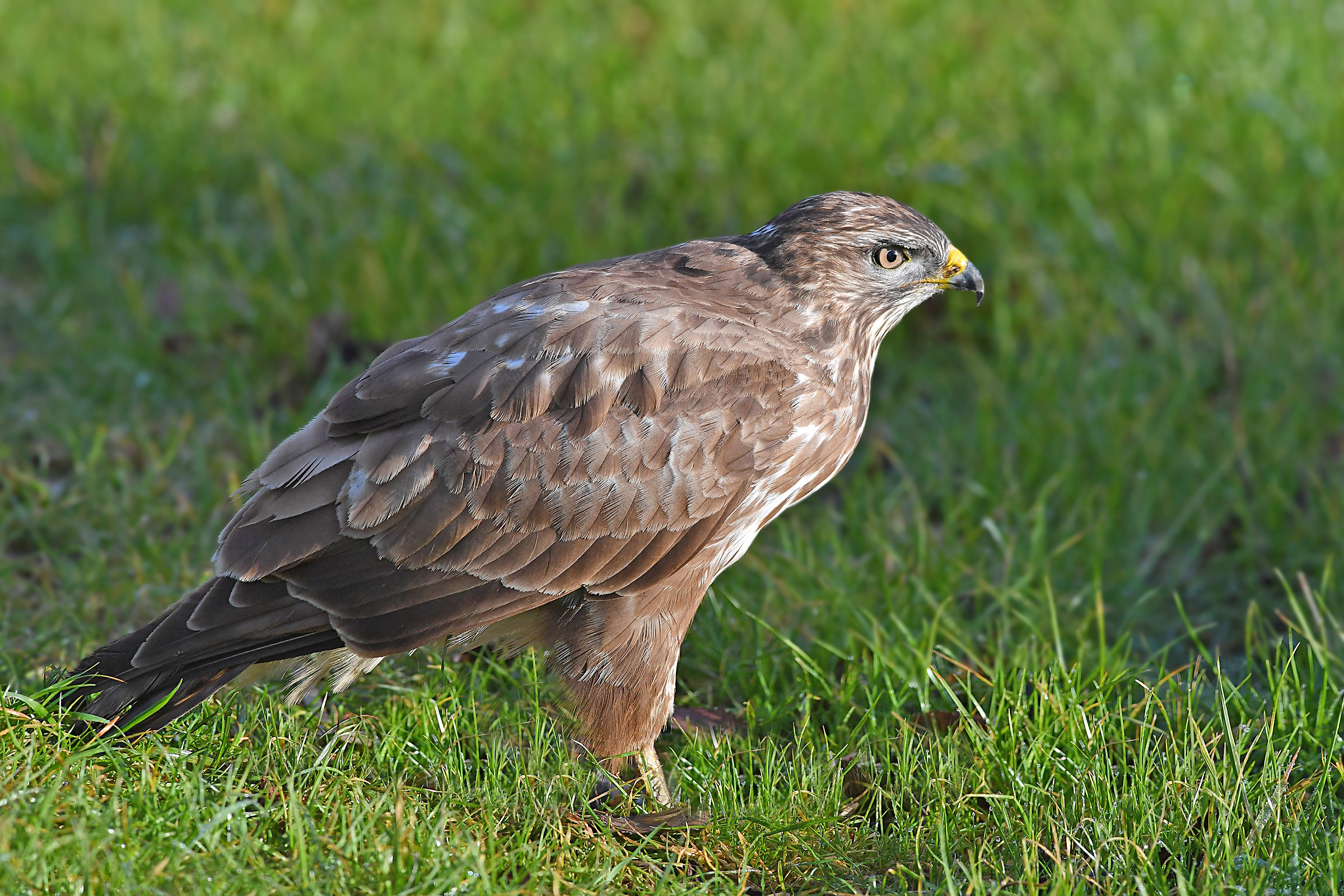 Stories of Feathers (buzzard)...