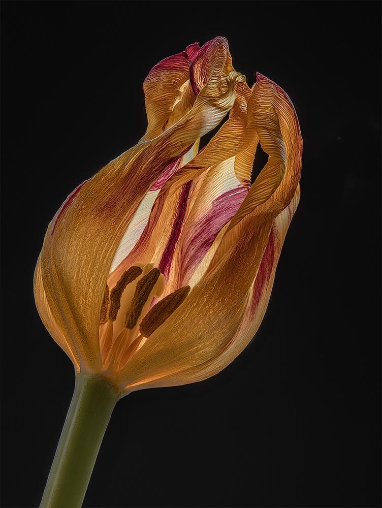 Third Age Tulip...