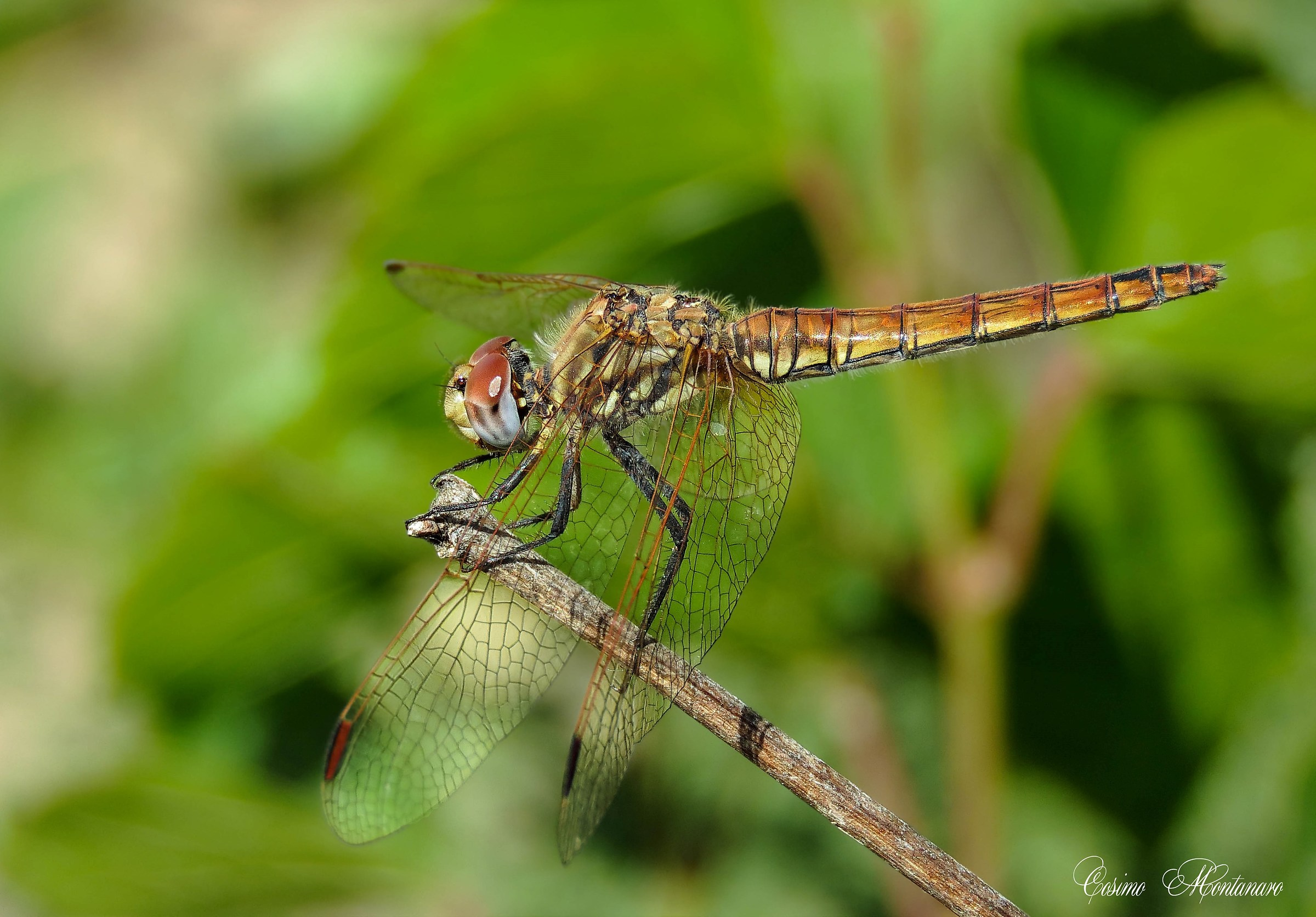 Trithemis annulled...