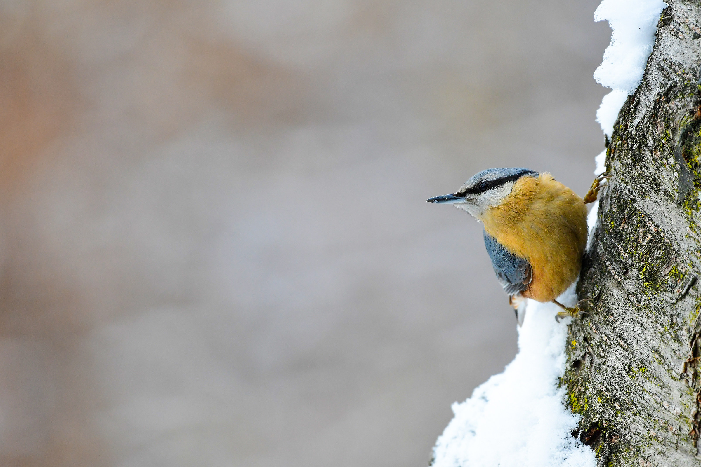 Nuthatch with Snow ...
