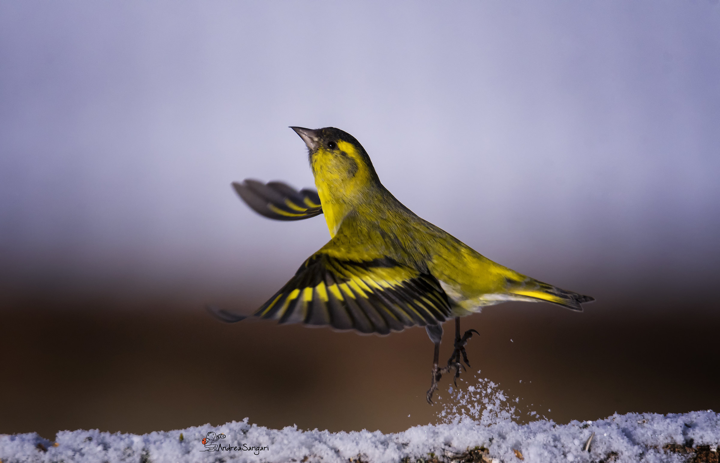 The detachment of the Siskin...