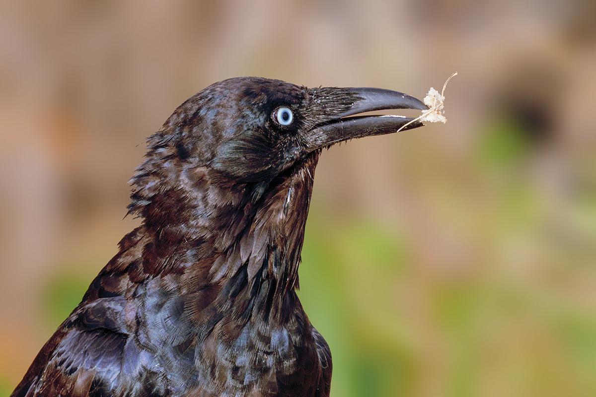 Australian Raven...