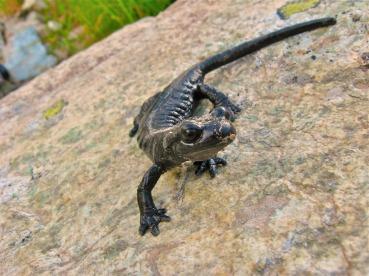 Salamandra lanzai