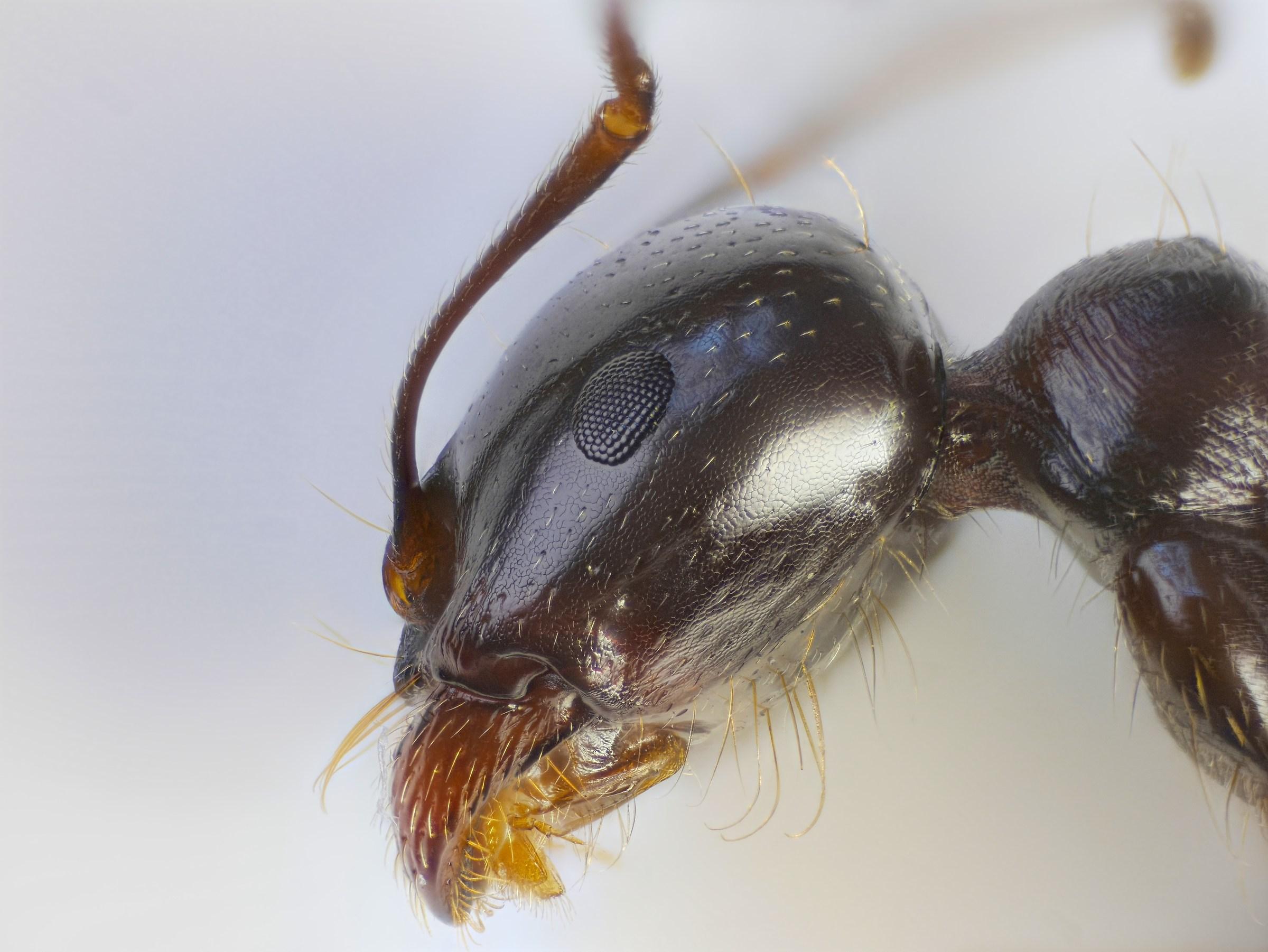Camponotus (Tanaemyrmex) aethiops...