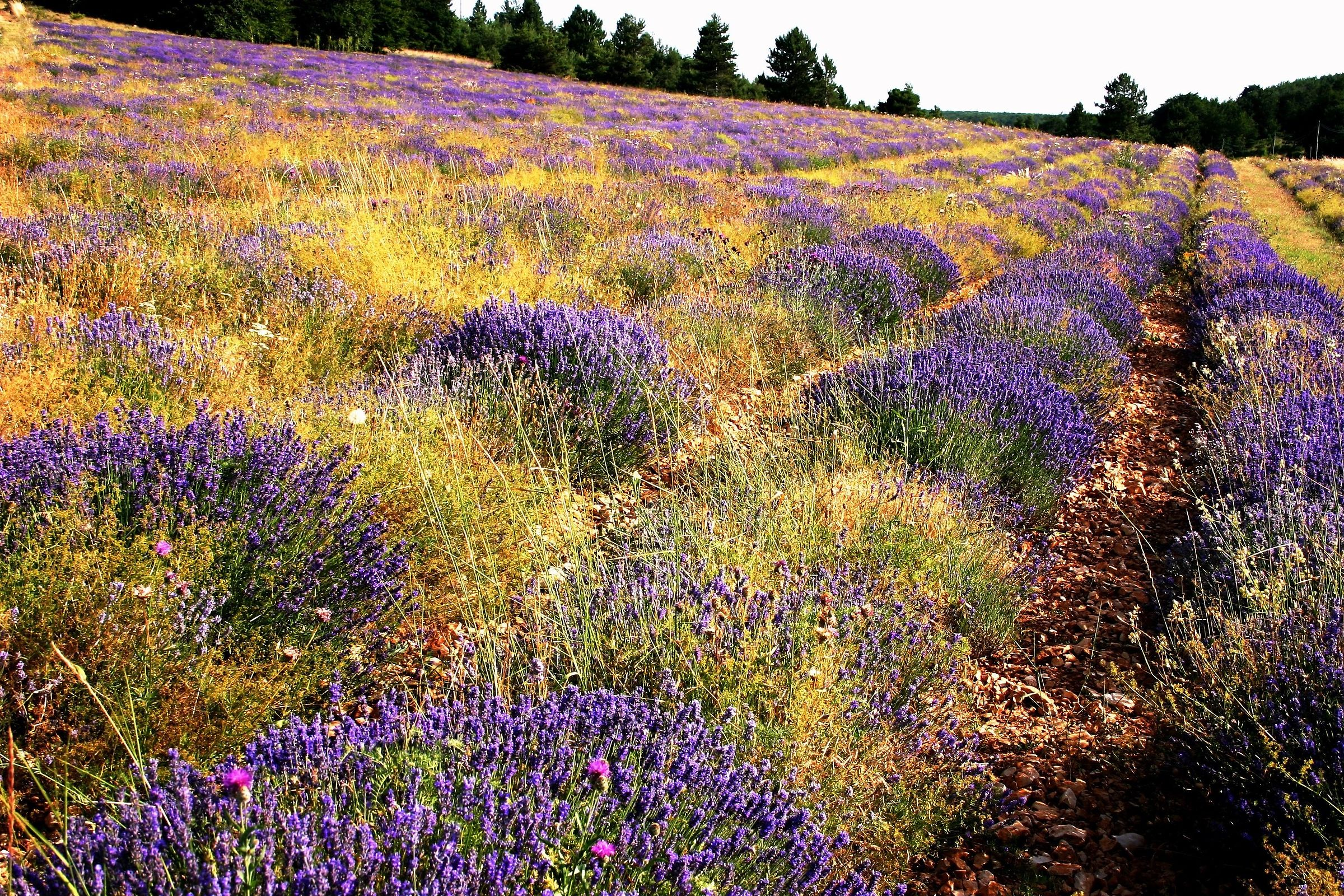 Provence Lavender (at the end of flowering)...