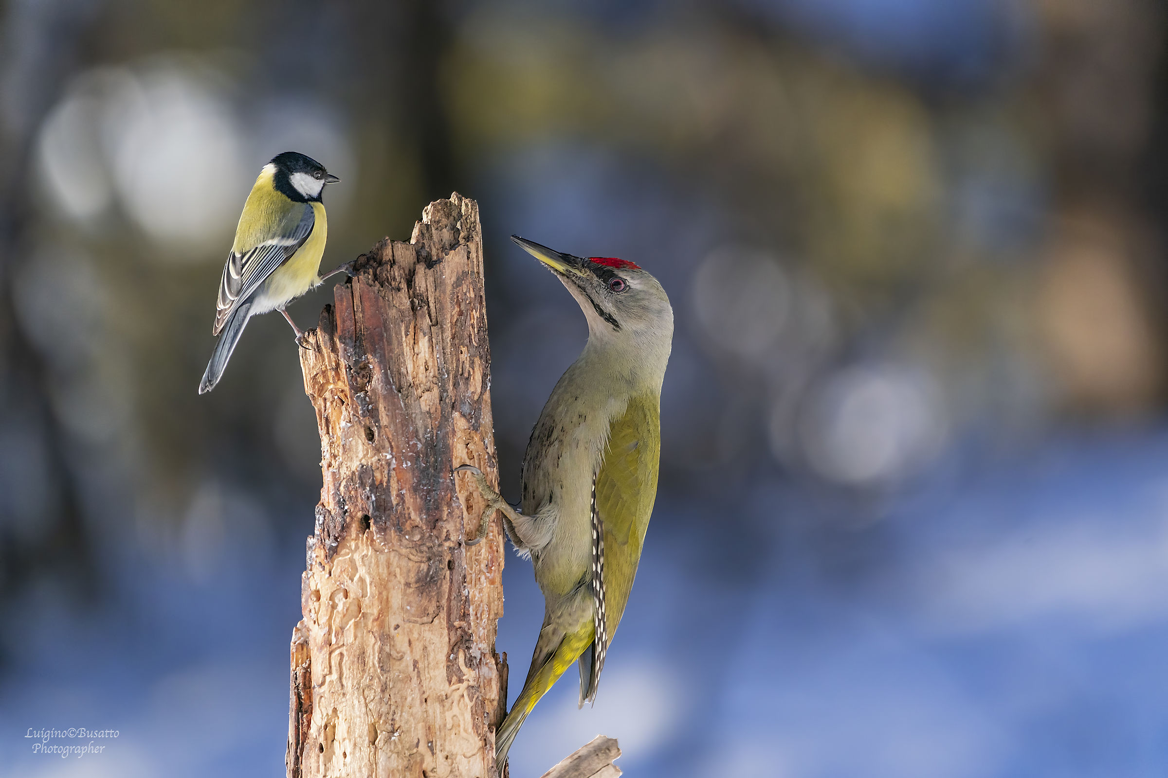 Grey-spotted woodpeckers with small Cinciarella ...